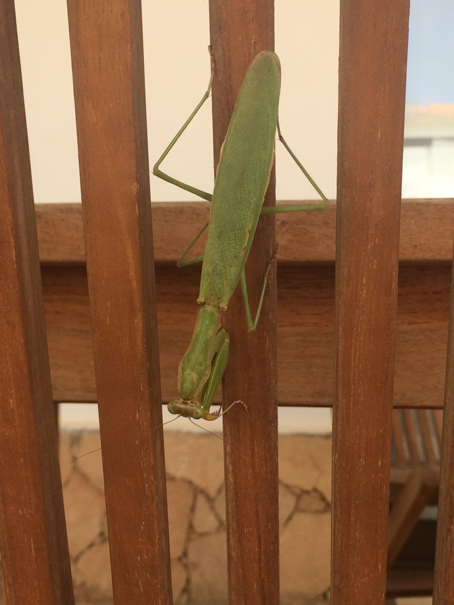 Praying mantis, Sal Island, Cape Verde