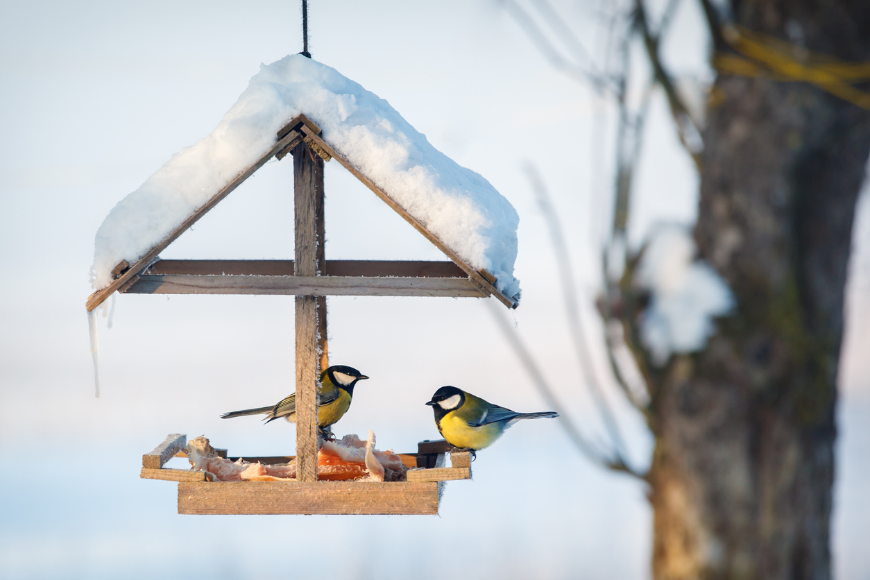 Great tits on a feeder in Winter