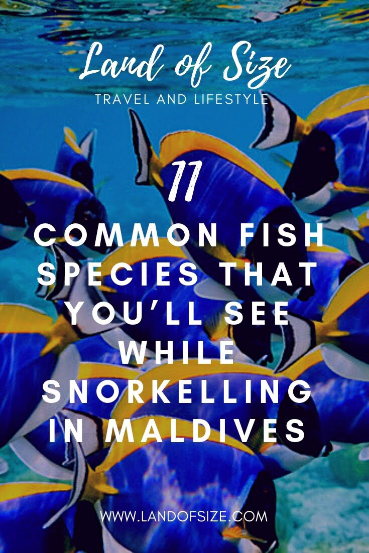 11 common fish species that you'll see while snorkelling in Maldives