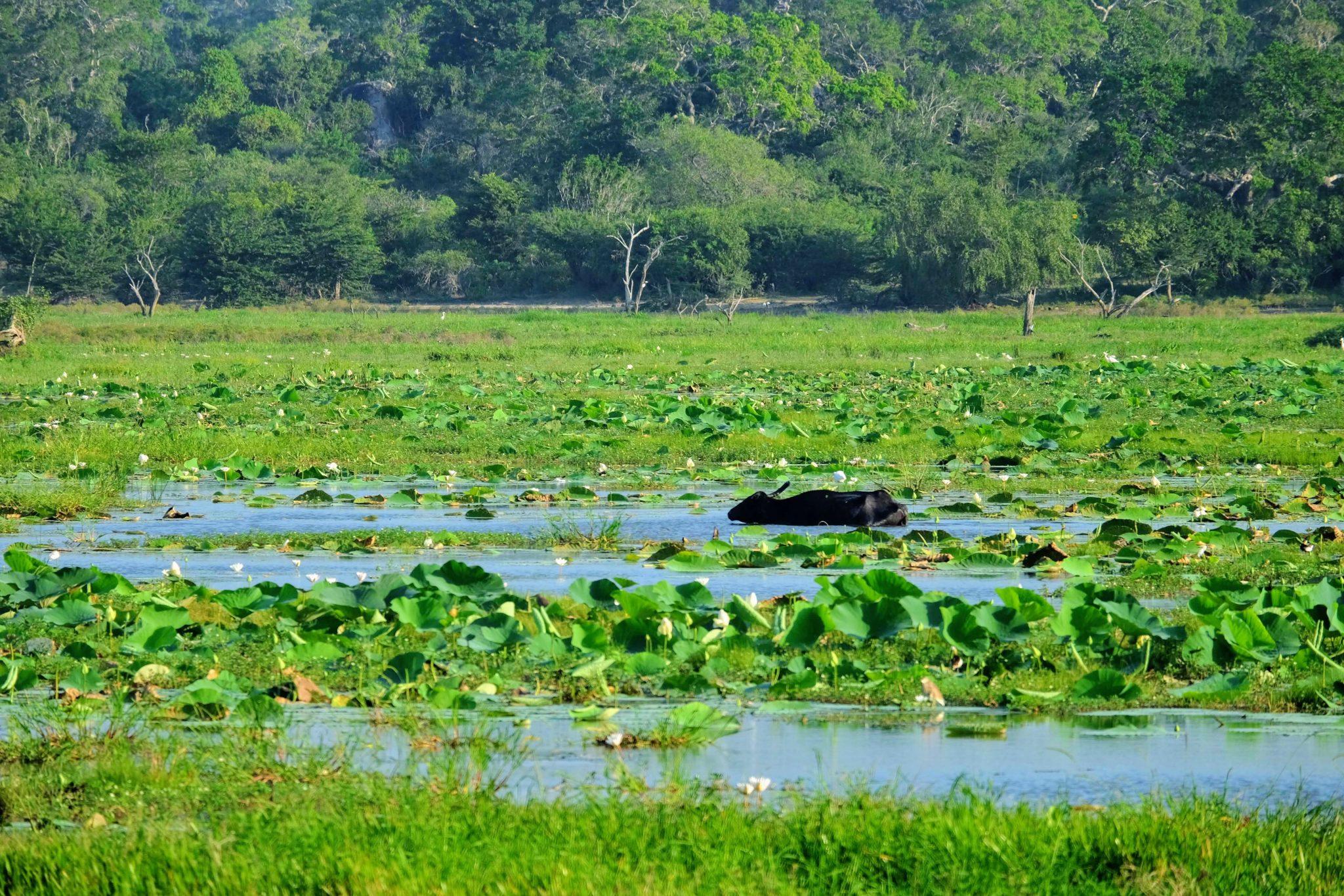 Buffalo, Yala National Park, Sri Lanka