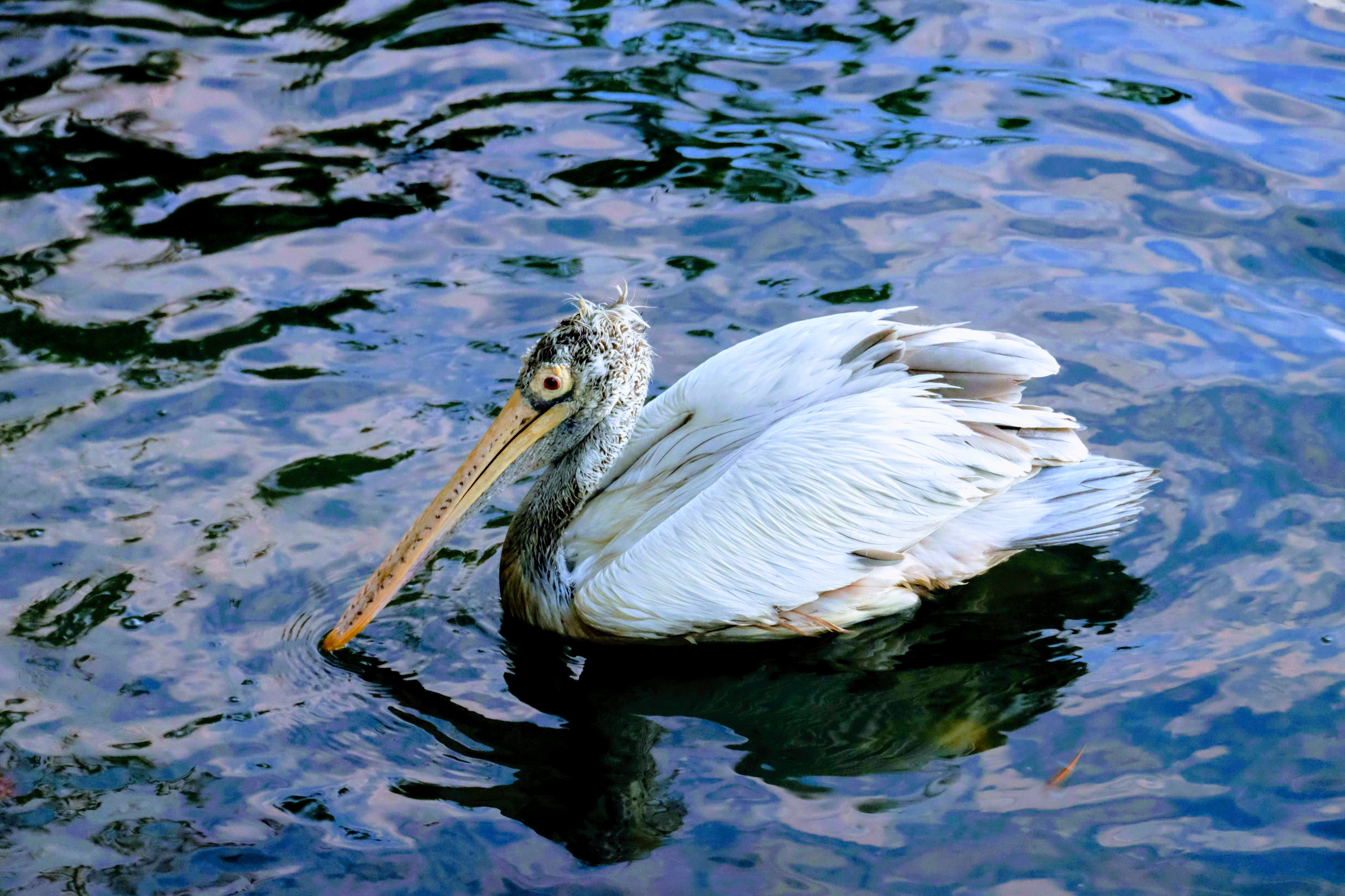 Pelican, Kandy Lake