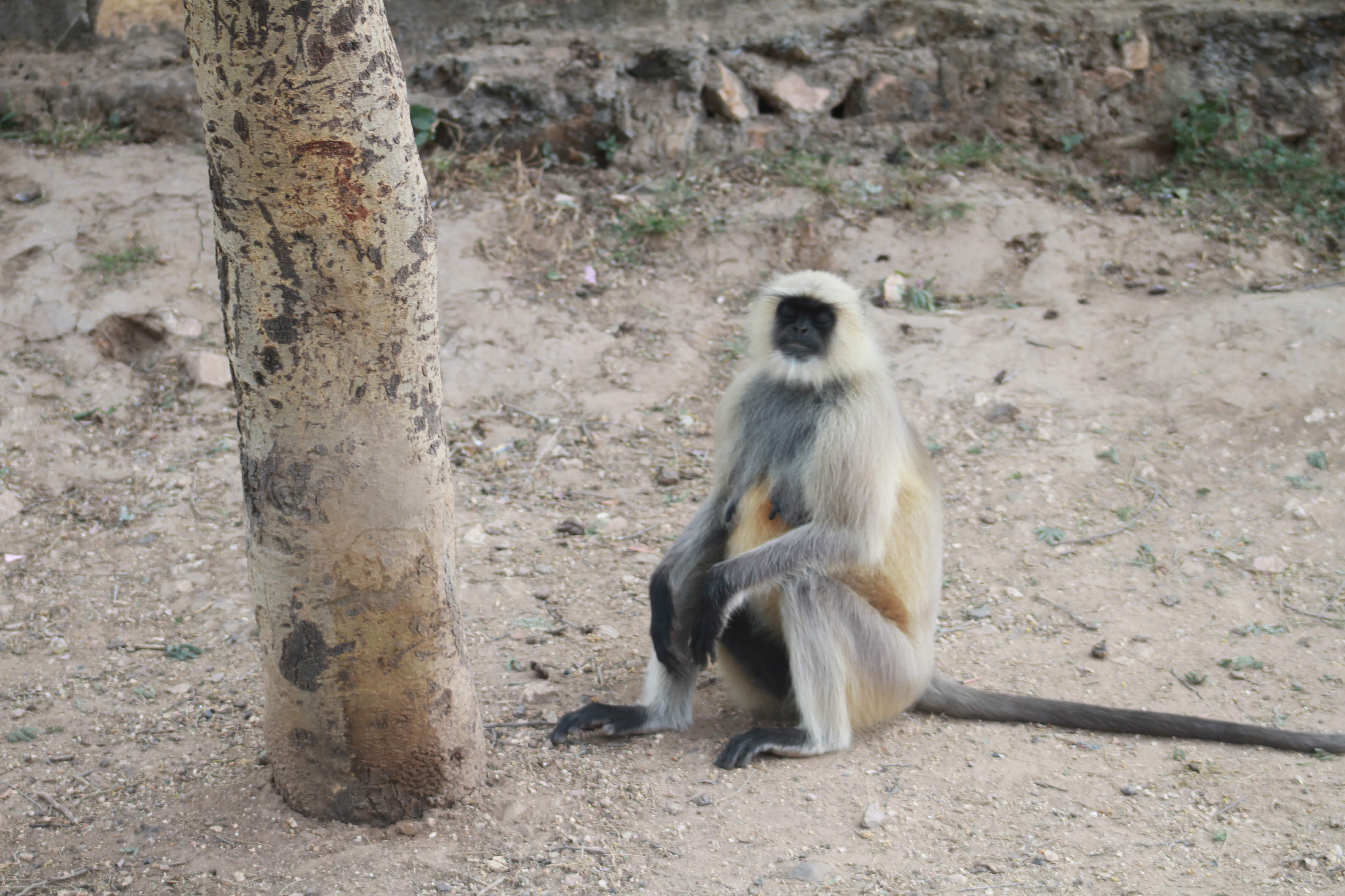 Grey langur, Ranthambore National Park, India