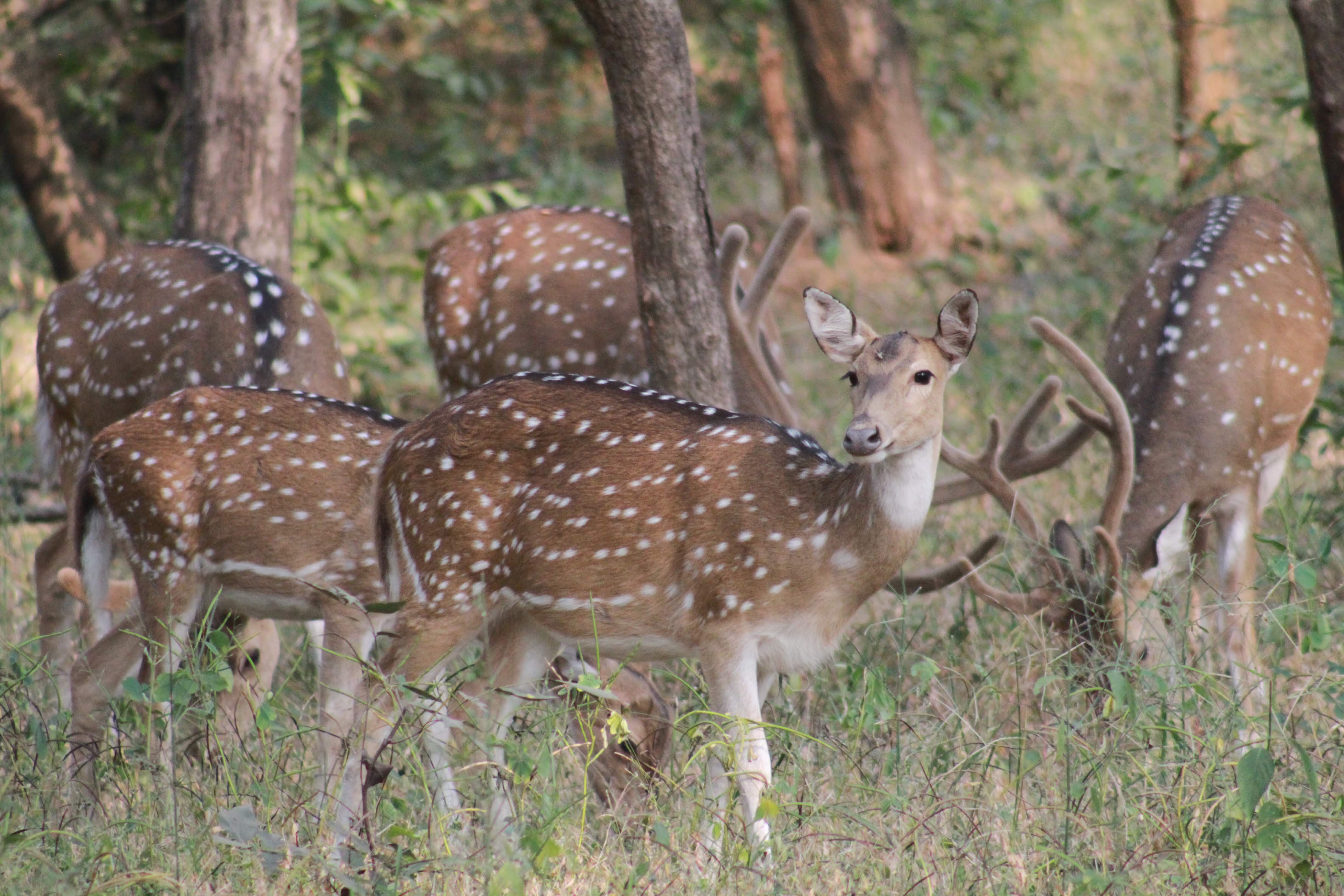 Spotted deer, Ranthambore National Park, India