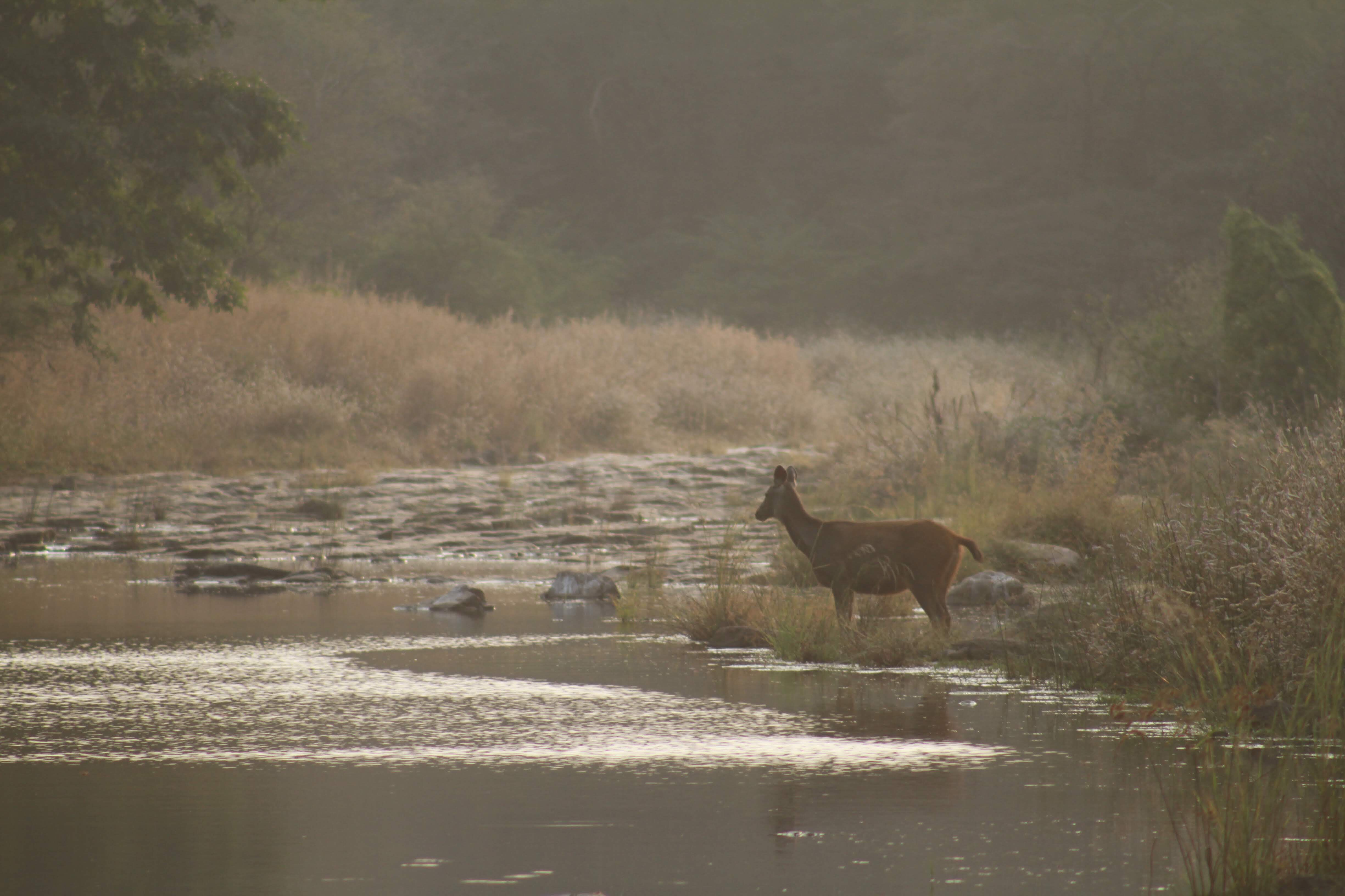 Sambar deer, Ranthambore National Park, India