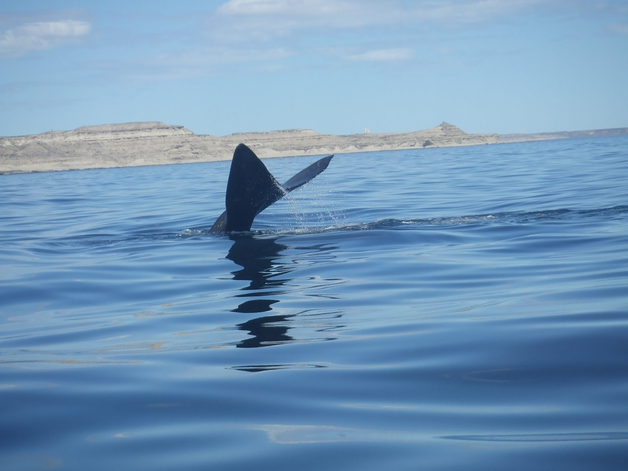 Southern right whale, Peninsular Valdés, Argentina