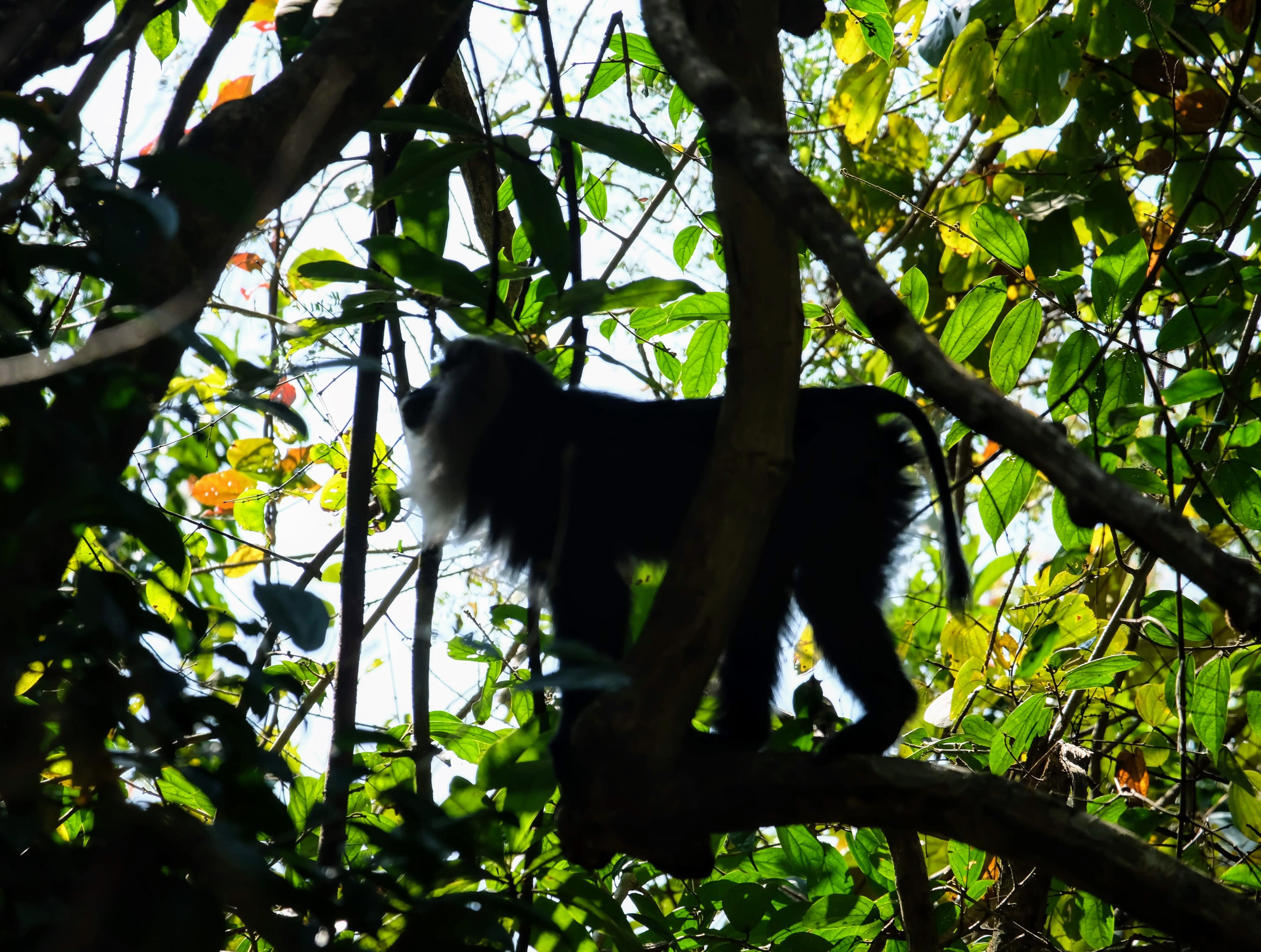 Lion-tailed macaque, Periyar National Park