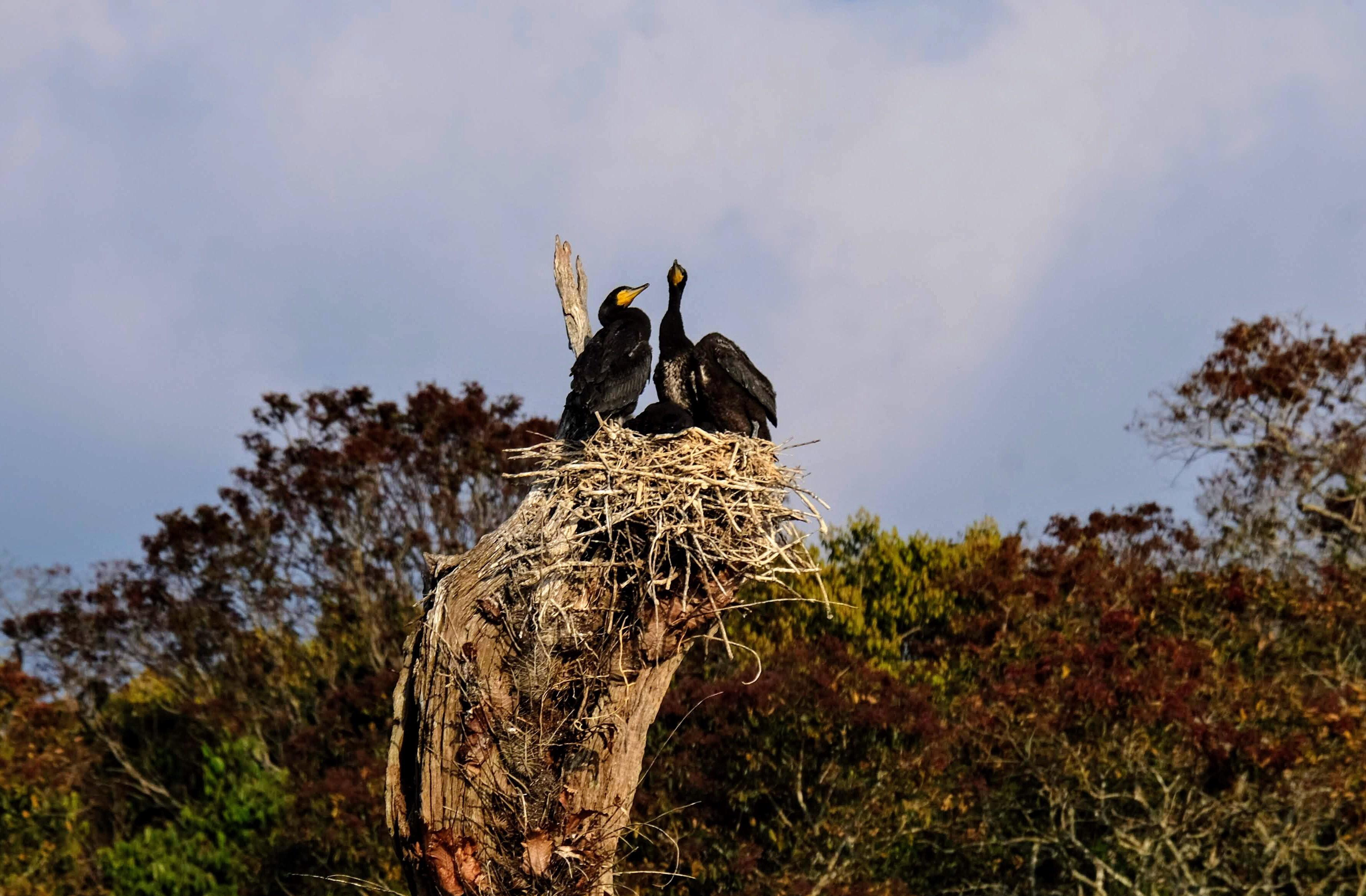 Cormorants at Periyar National Park