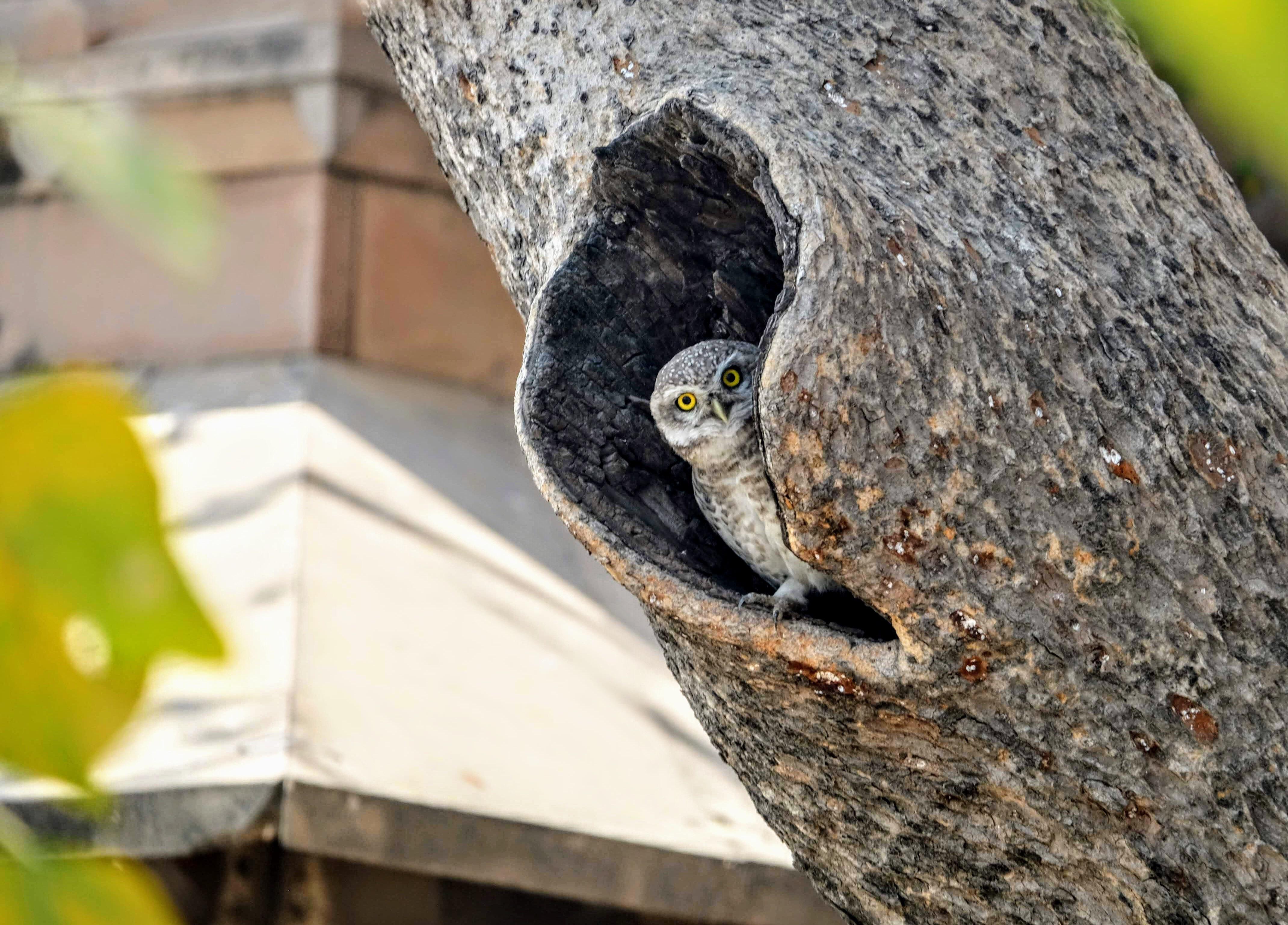 Little owl in Varanasi