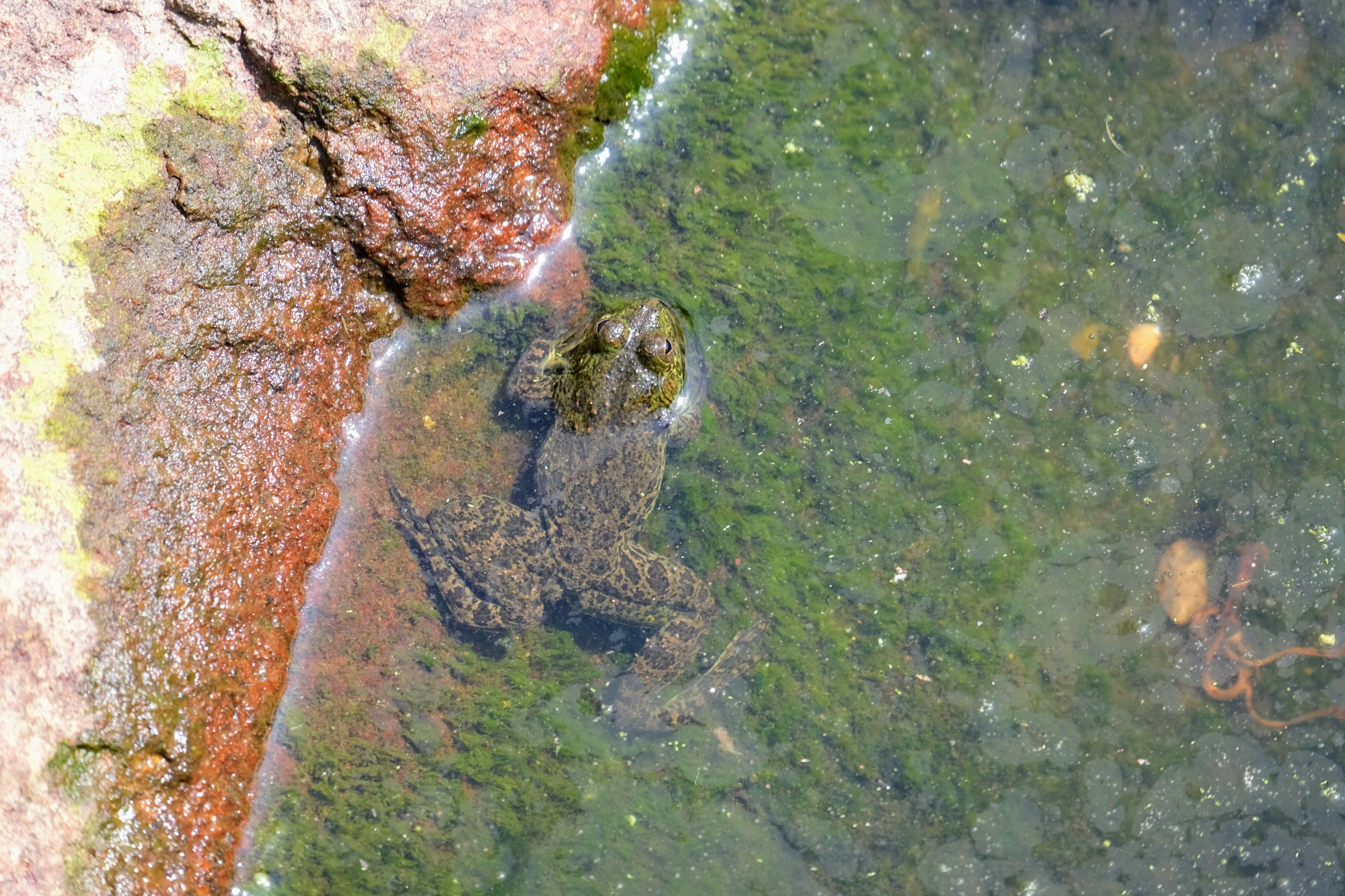 Frog in a pool at Mihintale, Sri Lanka