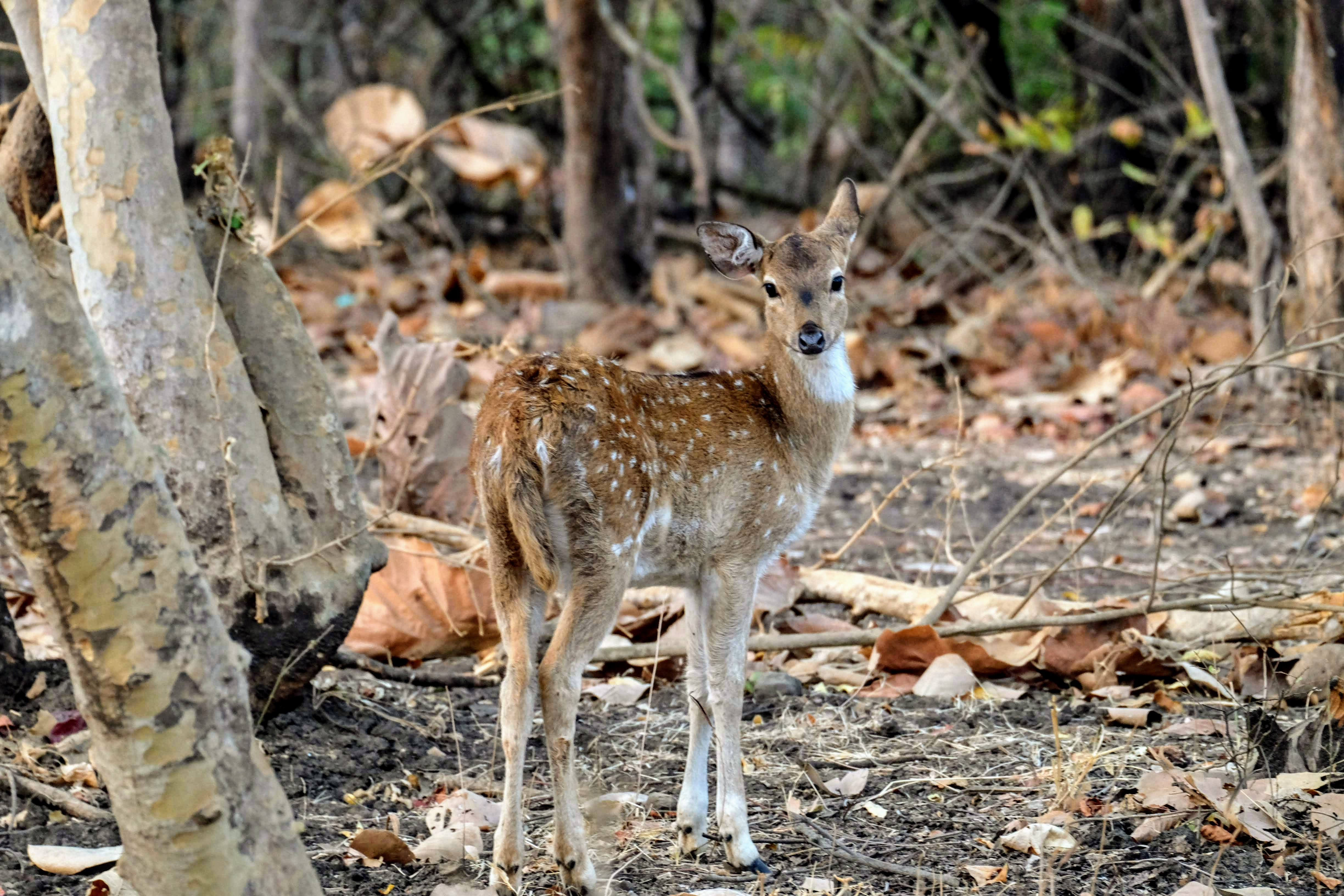 Baby spotted deer, Gir National Park, Gujarat
