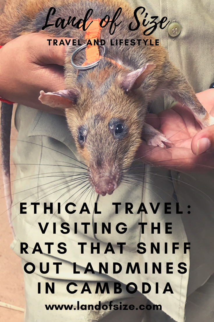 Ethical Travel: Visiting the African rats that sniff out landmines in Cambodia