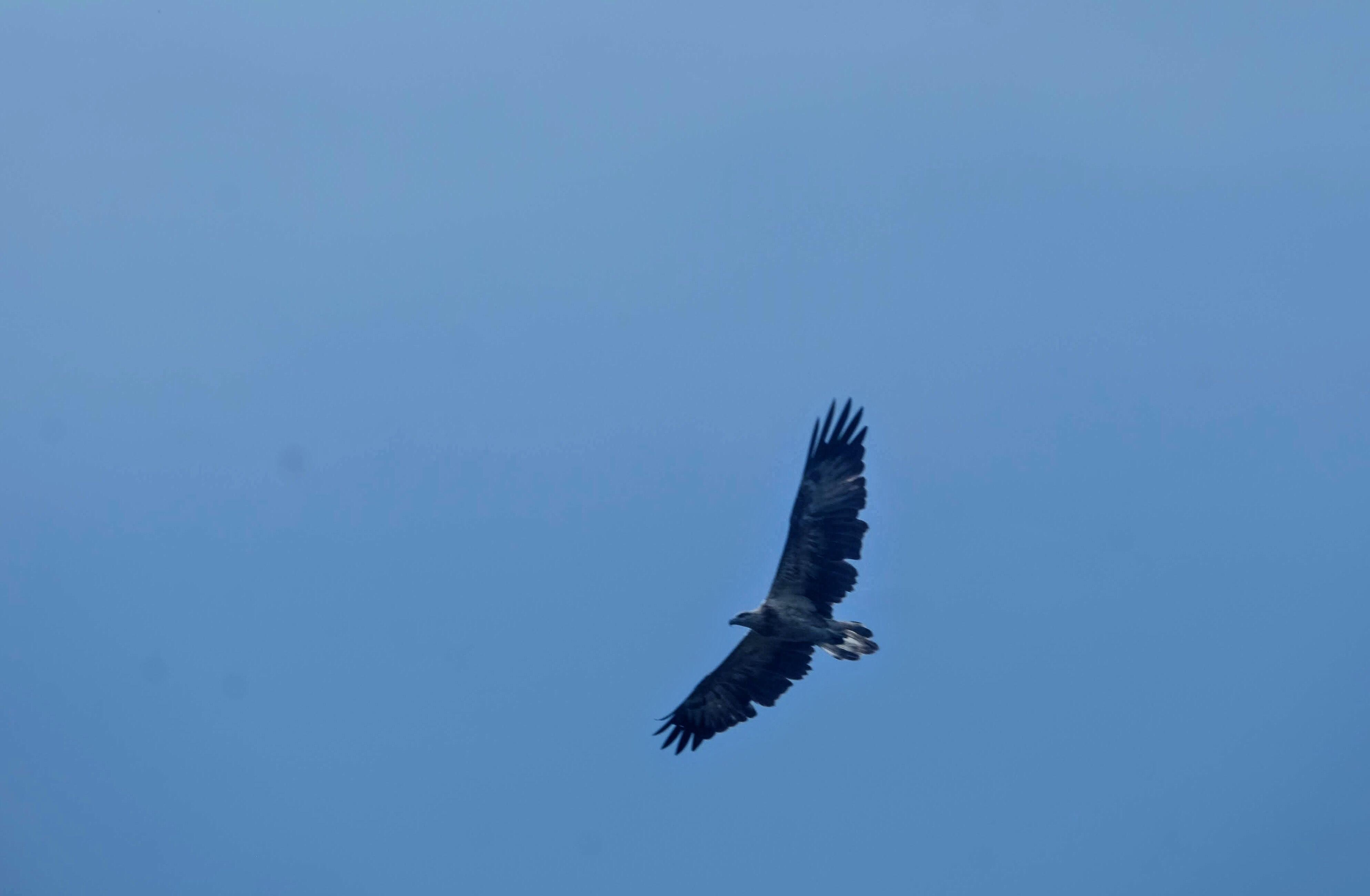 White-bellied sea eagle, Langkawi Island, Malaysia