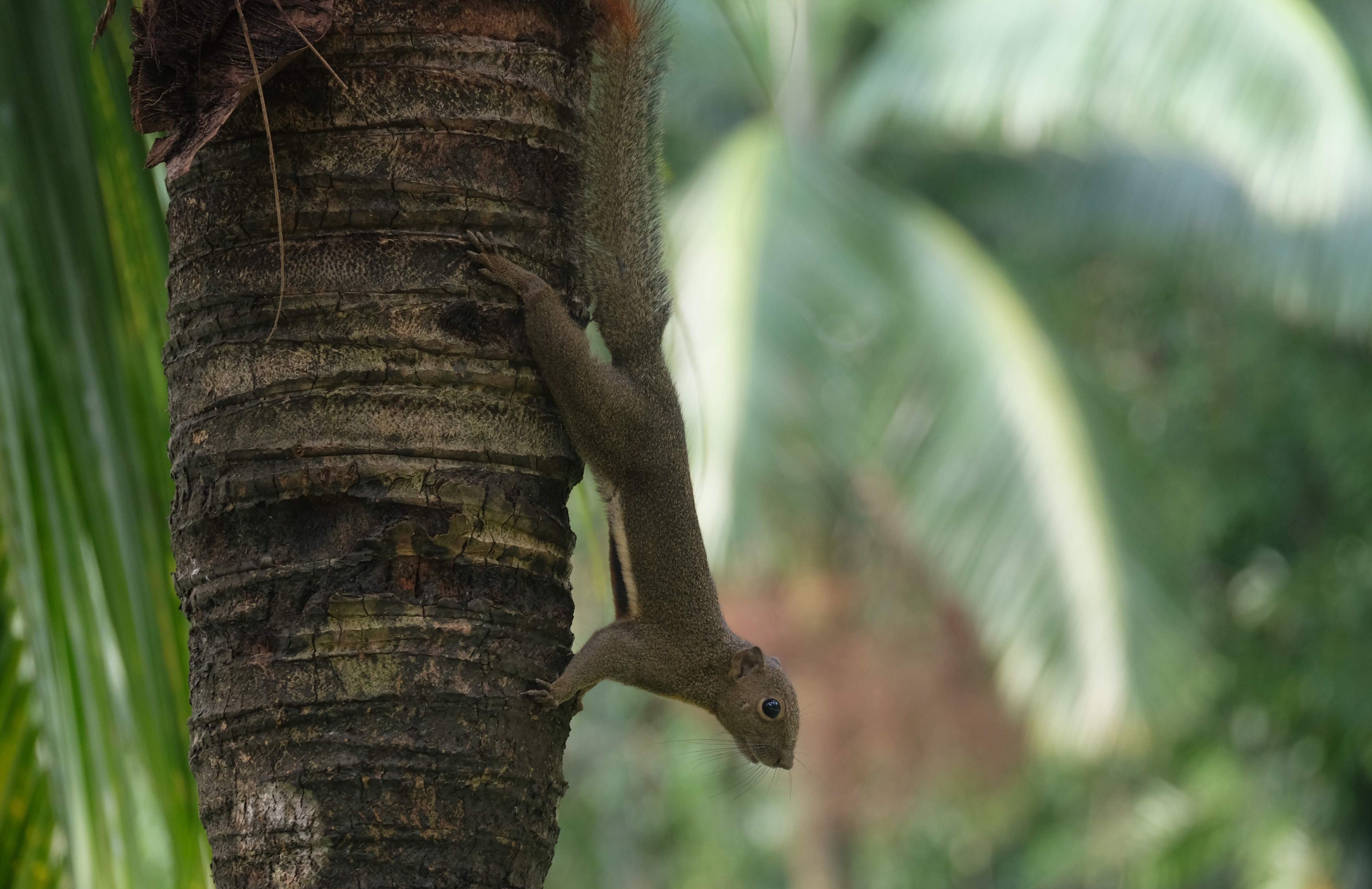 Plantain squirrel, Kuala Lumpur, Malaysia