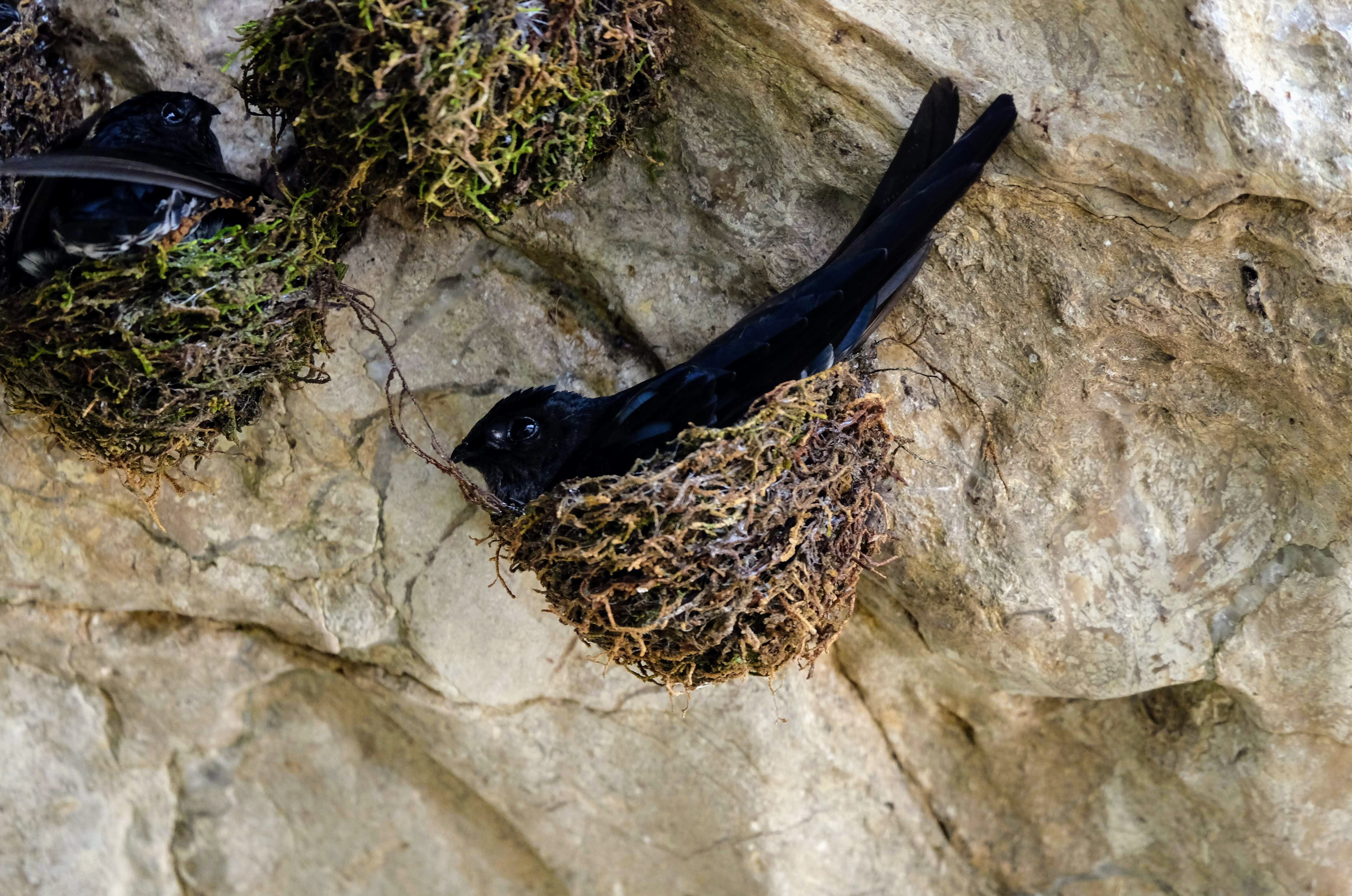 Glossy swiftlet in a nest, Kinabatangan River, Borneo