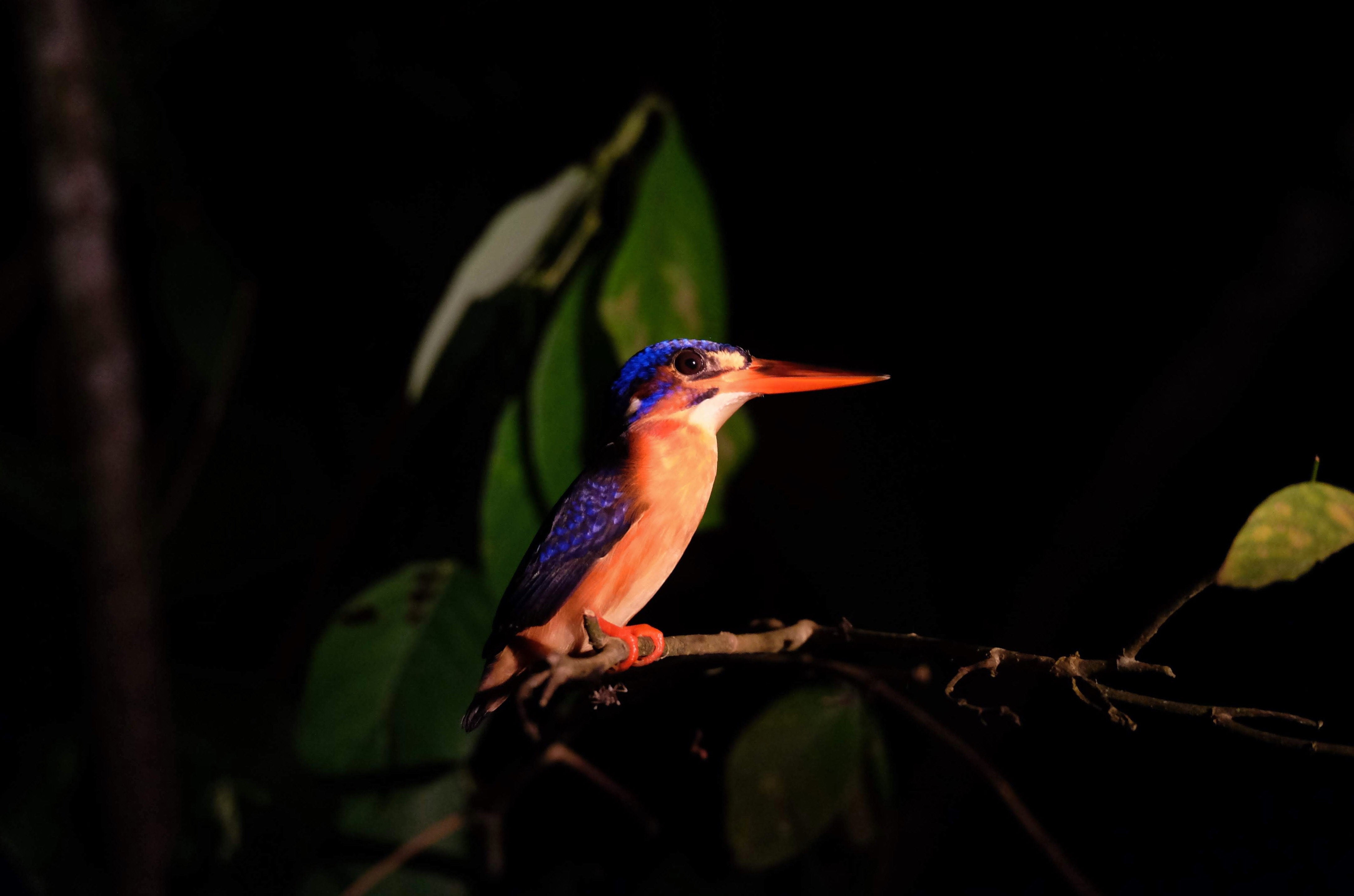 Blue-eared kingfisher, Kinabatangan River, Borneo