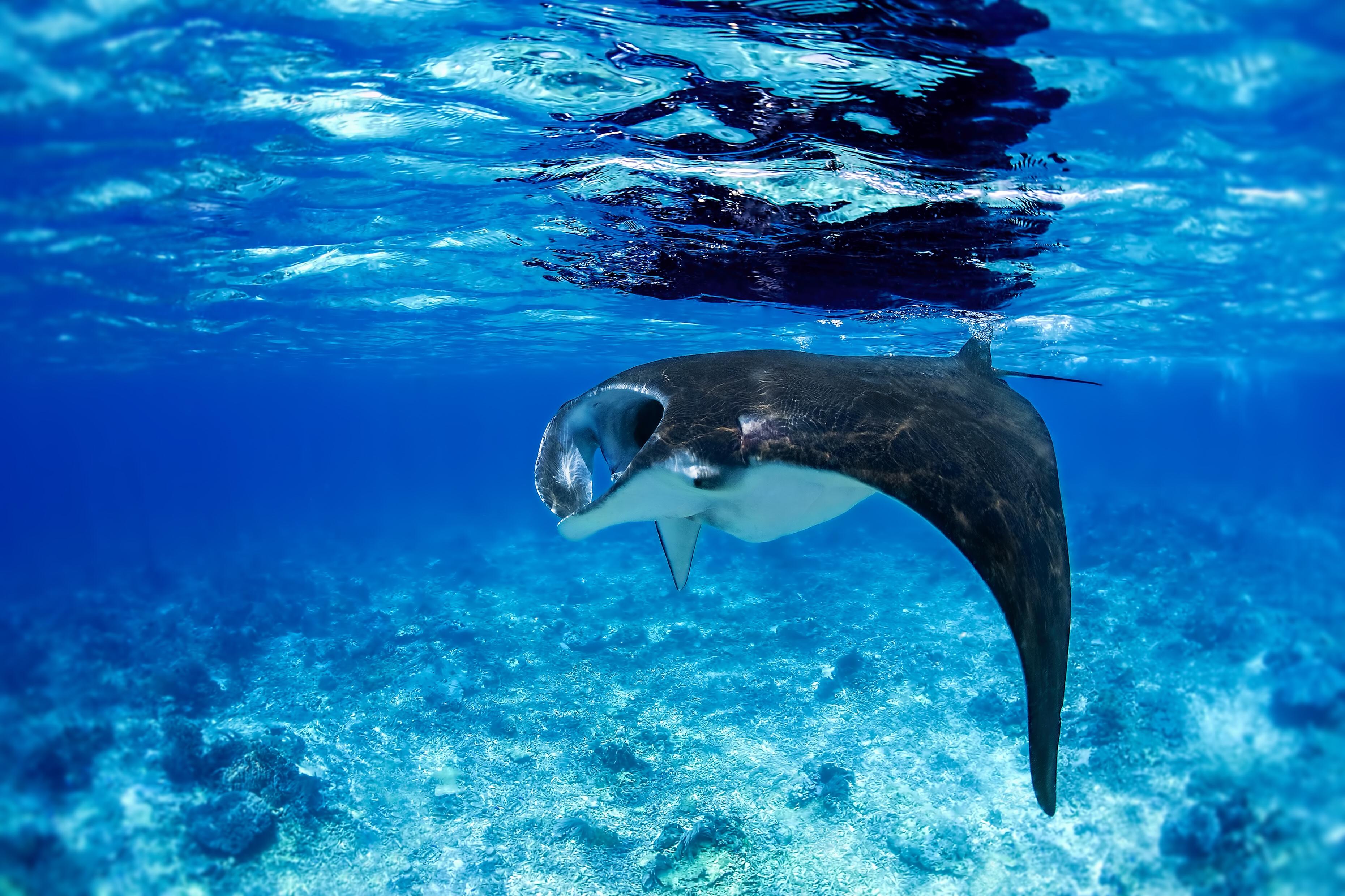 Manta ray, iStock