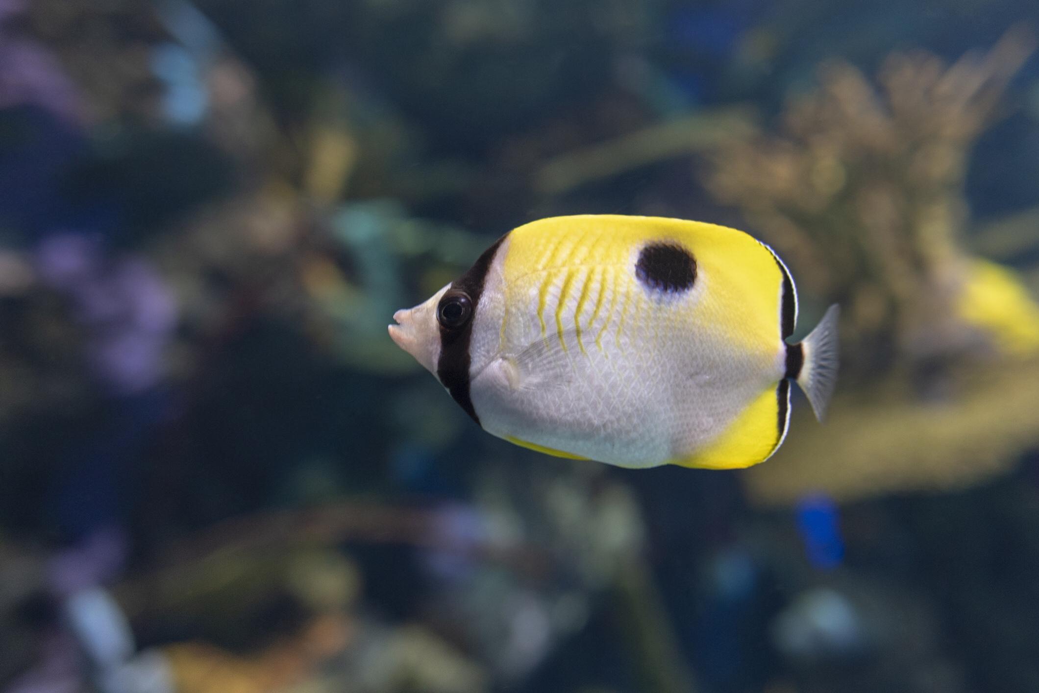 Teardrop butterflyfish, iStock