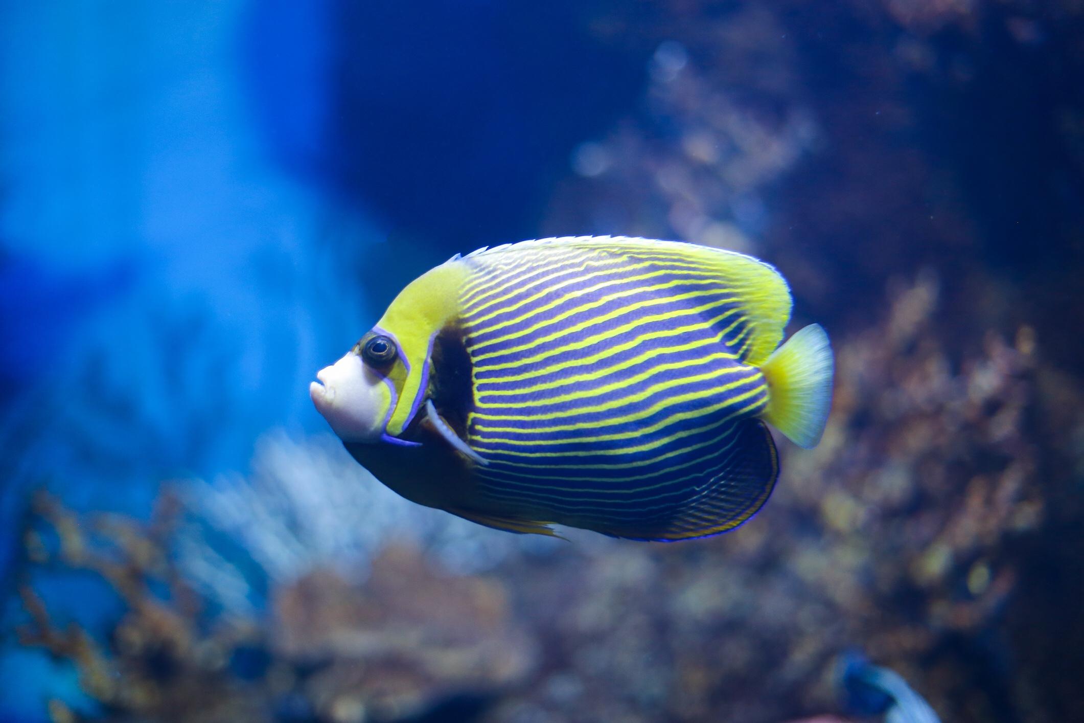 Emperor angelfish, iStock