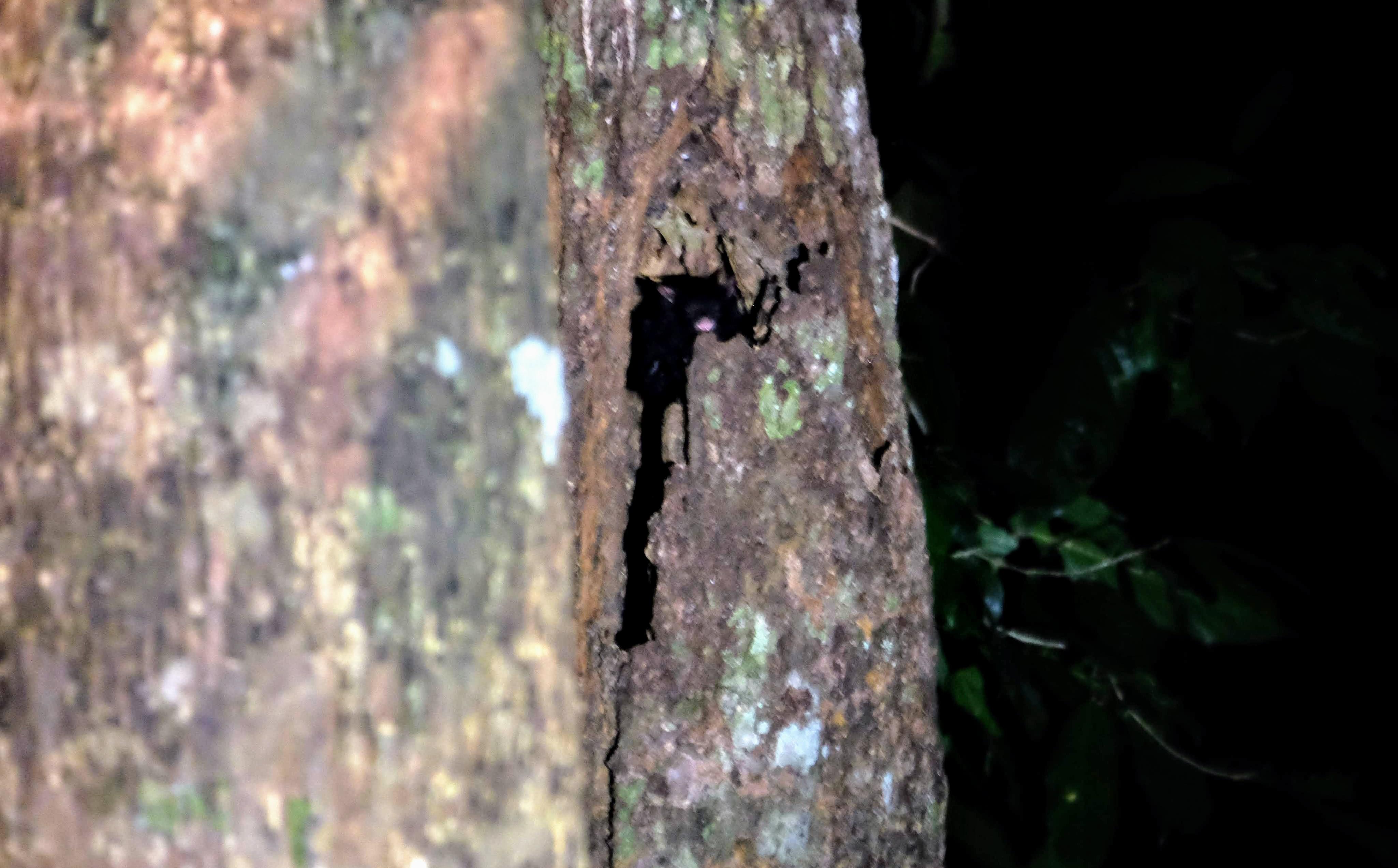 Black flying squirrel, Sepilok, Borneo