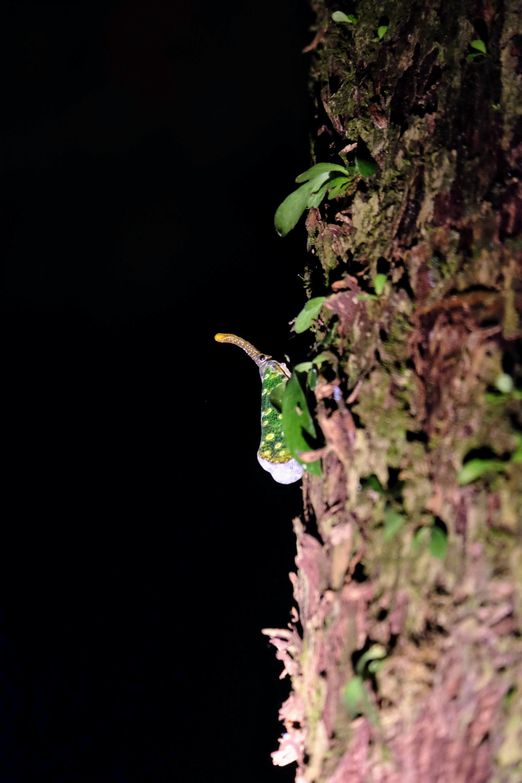 Lantern bug, Sepilok, Borneo