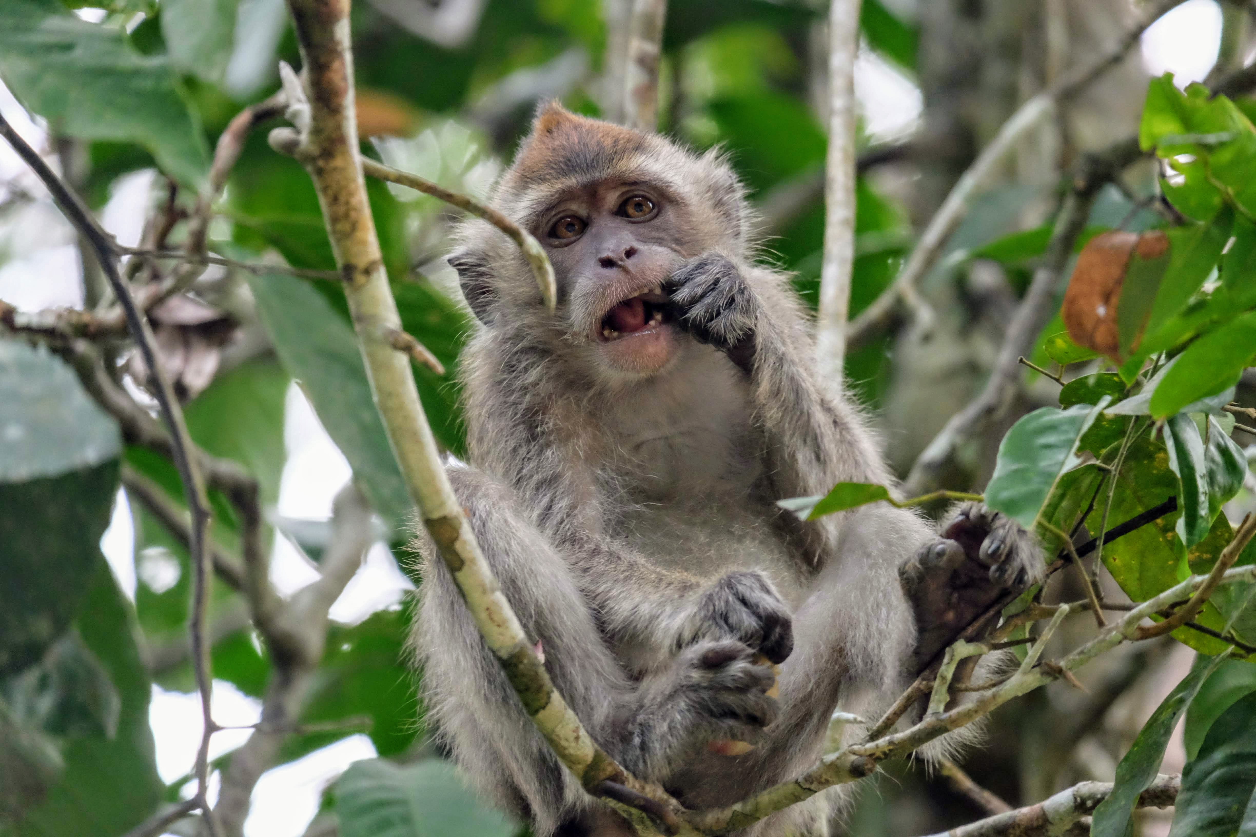 Long-tailed macaque, Malaysia