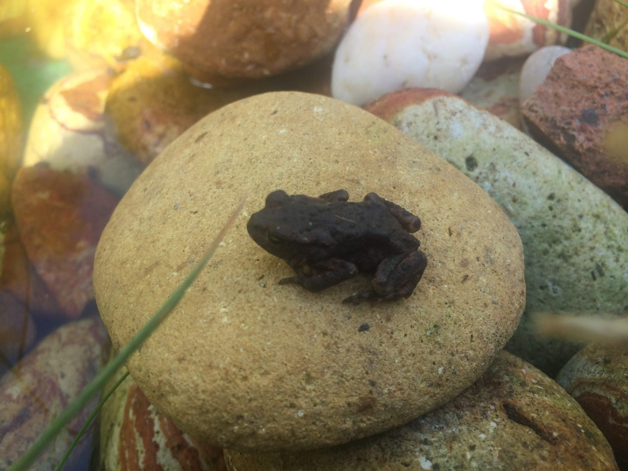 Toad in my pond, Merseybank Estate, Manchester
