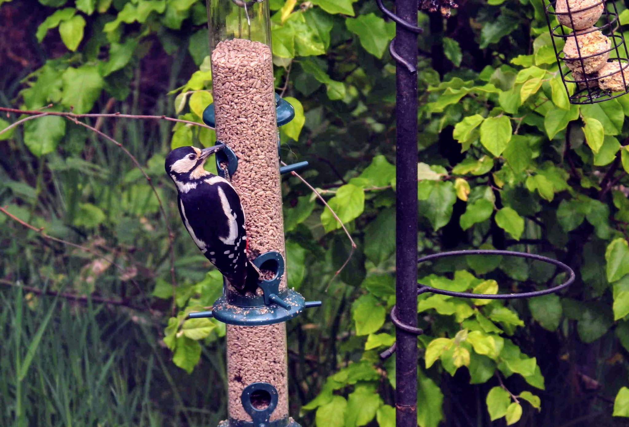 Great spotted woodpecker, Merseybank Estate, Manchester