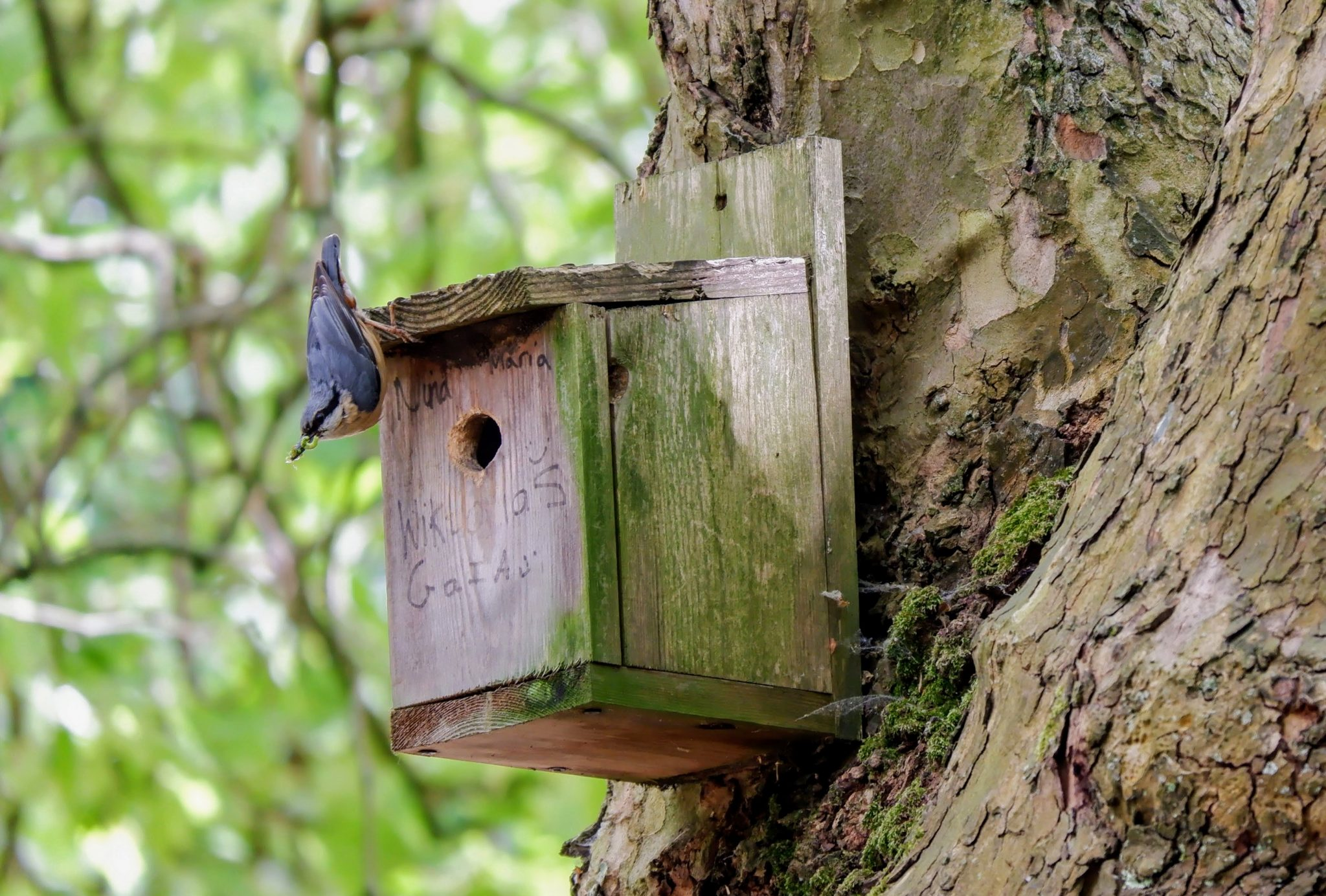 Nuthatch on a nest box in Southern Cemetery in Manchester