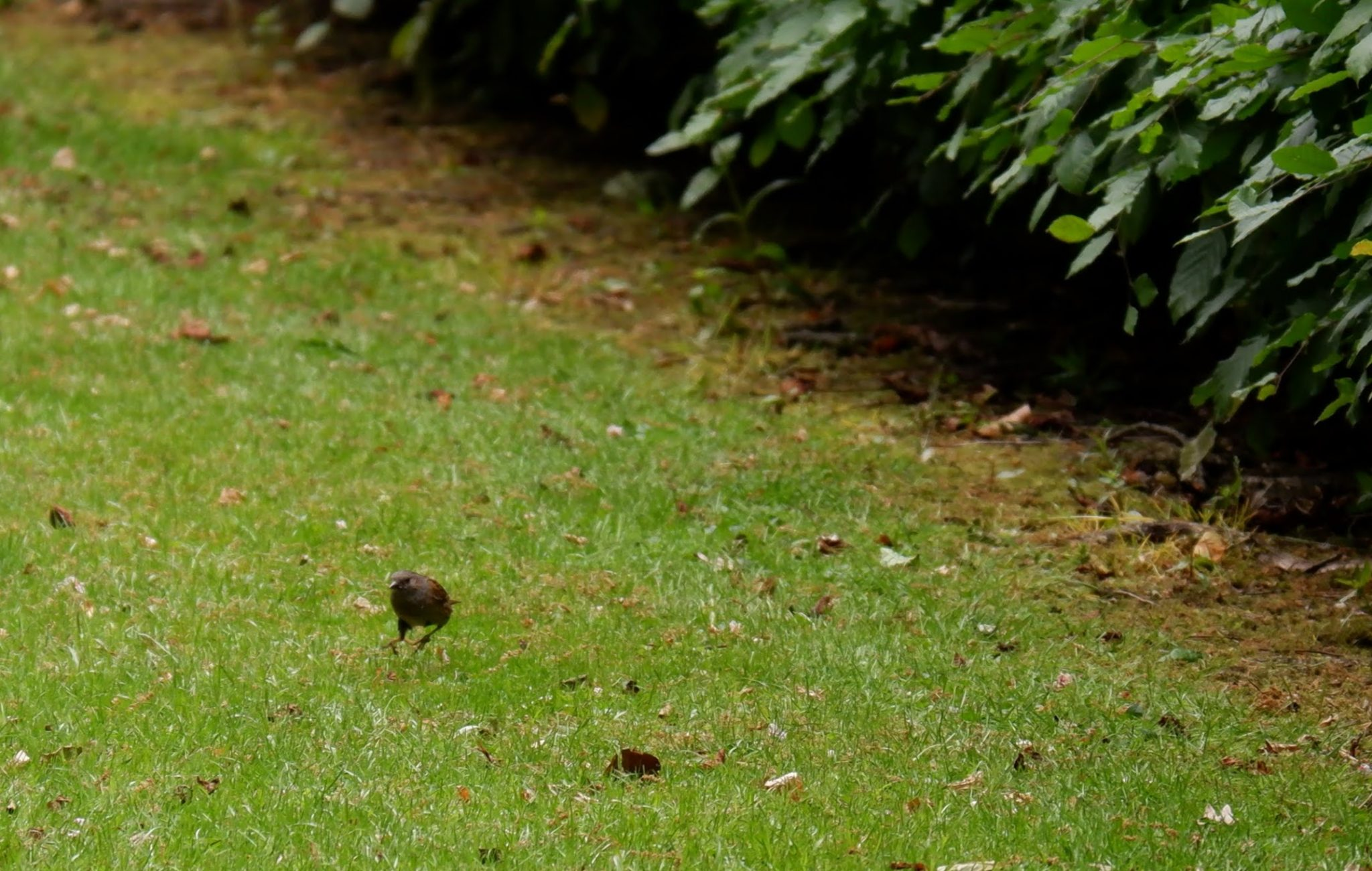 Dunnocks in Southern Cemetery in Manchester