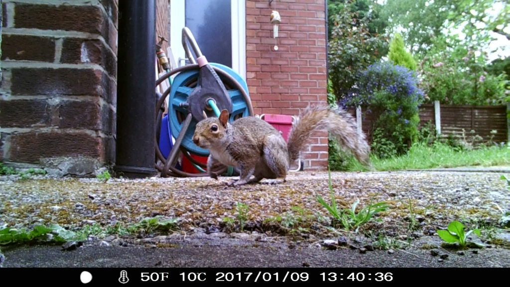 Grey squirrel, Merseybank Estate, Manchester