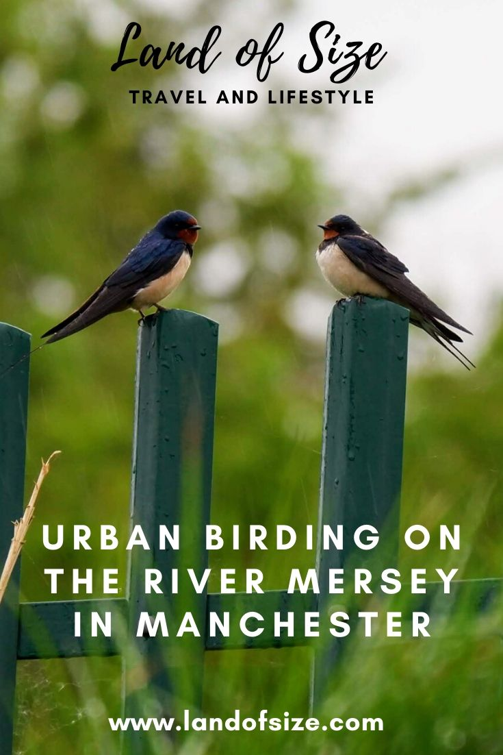 Urban birding on the River Mersey in Manchester