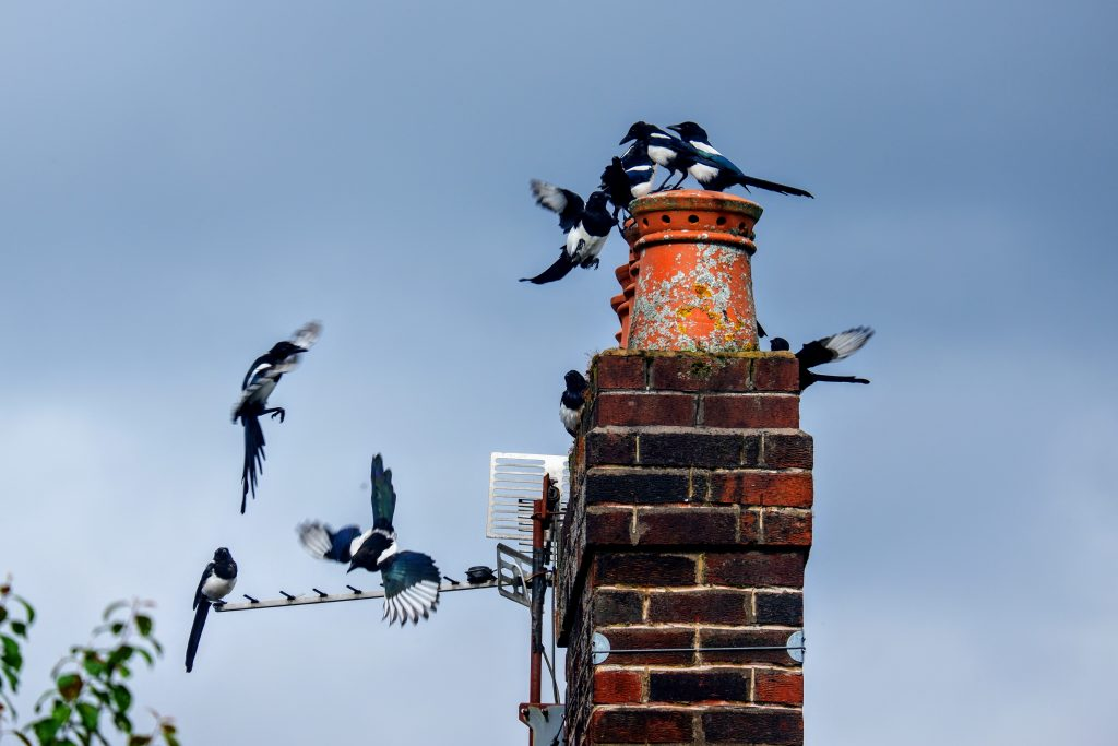 Magpies in Merseybank Estate, Manchester