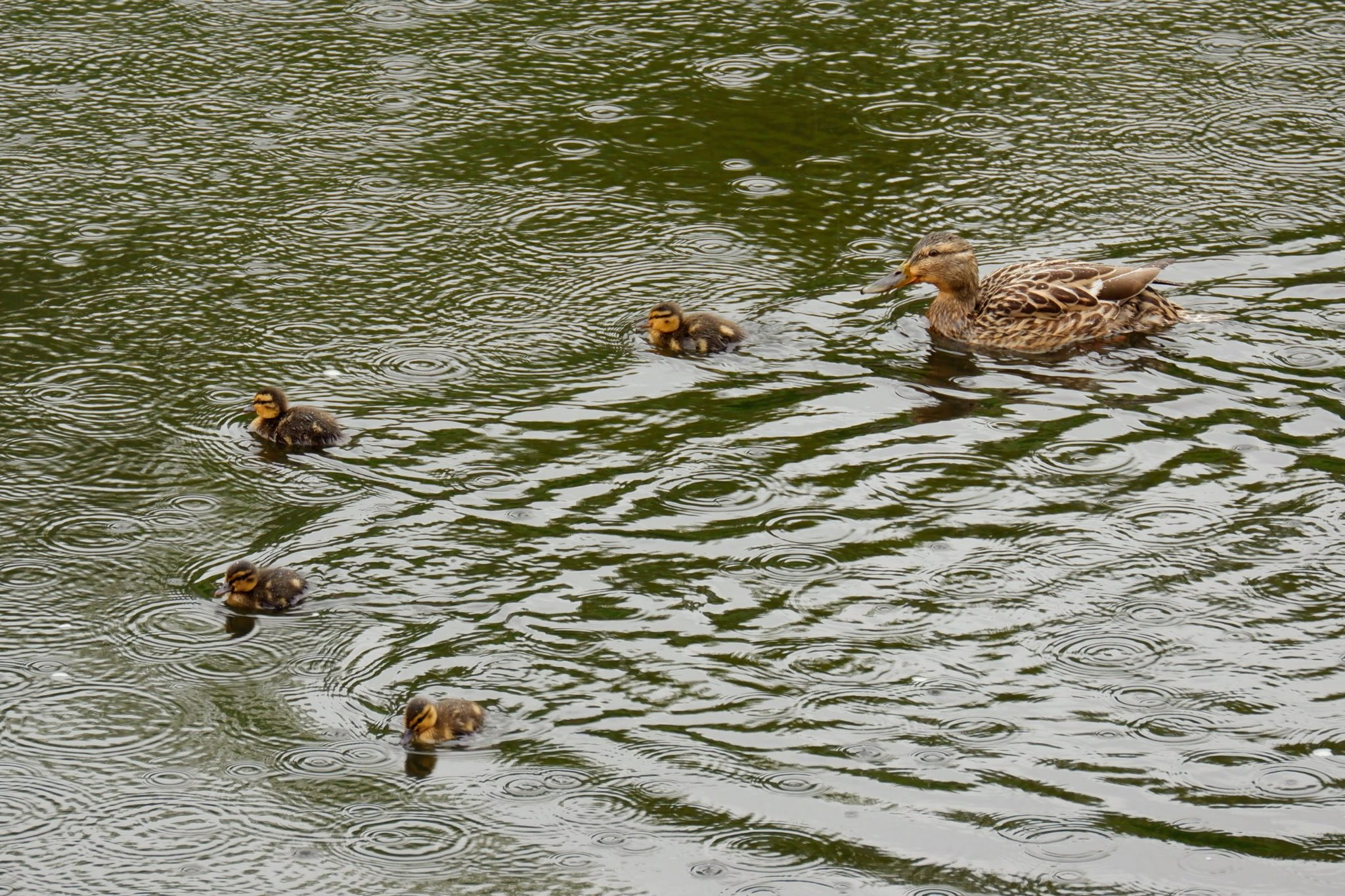 Mallard with ducklings, River Mersey in Chorlton