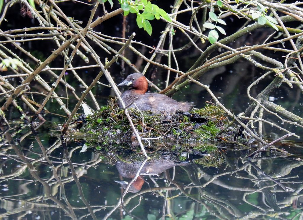 Nesting little grebe, Sale Water Park, Manchester