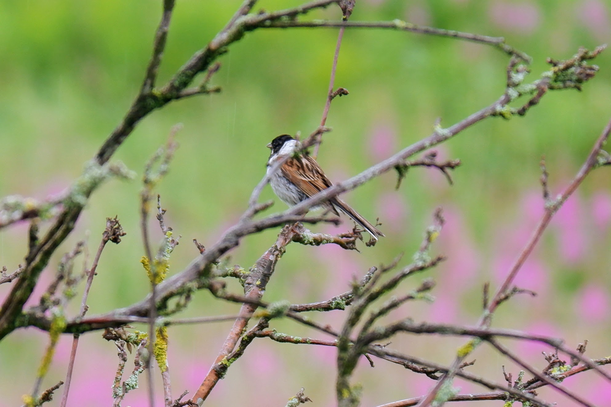Male reed bunting, River Mersey, Chorlton