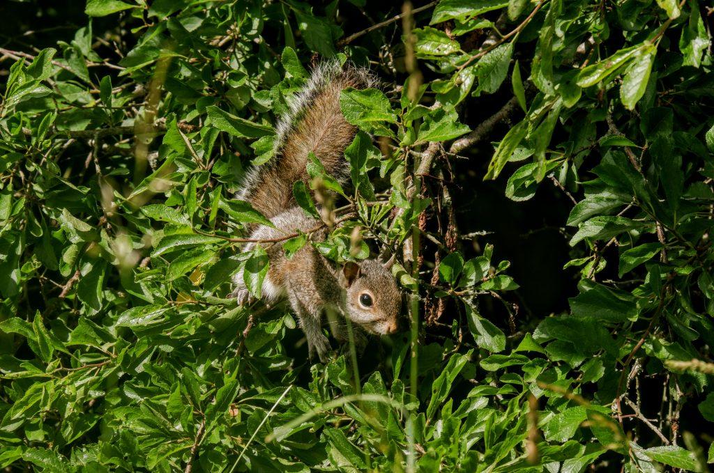Squirrel, Kenworthy Woods, Manchester
