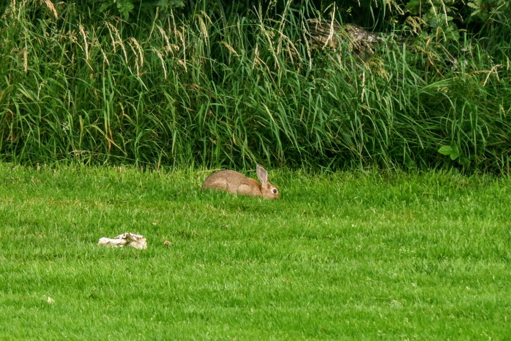 Rabbit near the River Mersey, Chorlton