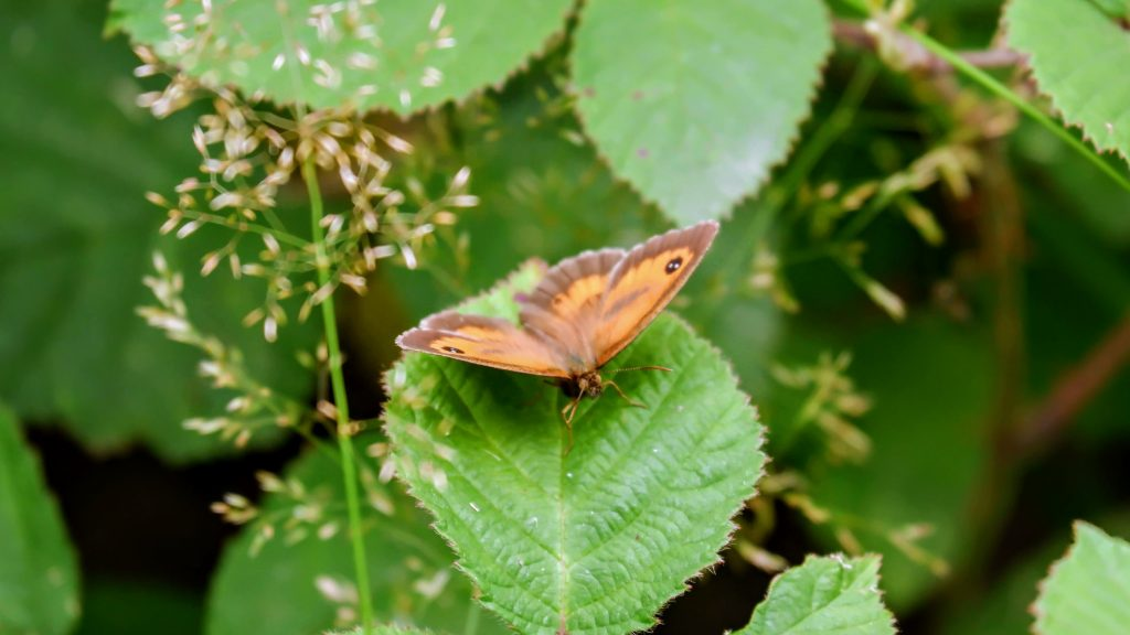 Meadow brown butterfly, Merseybank Estate, Manchester