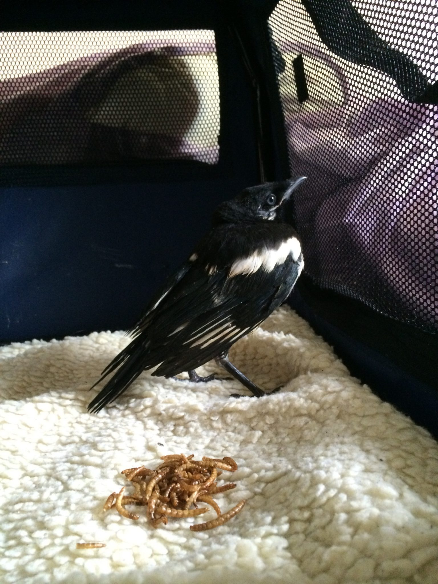 Rescuing a magpie caught by a cat