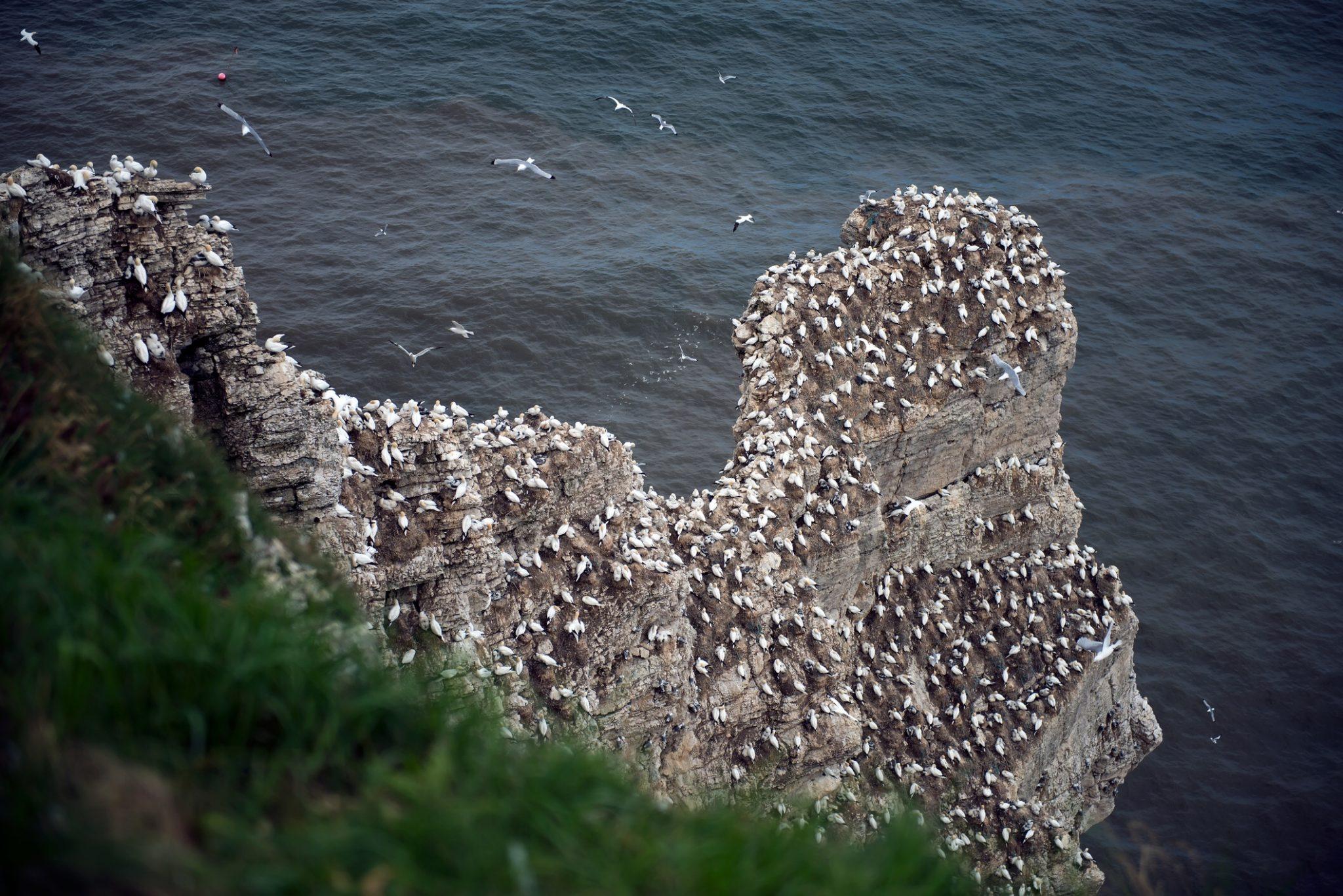 Gannets at Bempton Cliffs RSPB reserve, Yorkshire.