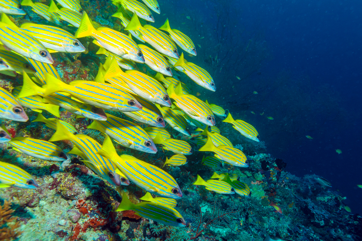 School of Yellow Fishes, Maldives
