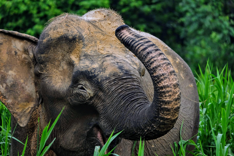 Pygmy elephant, Kinabatangan River, Borneo