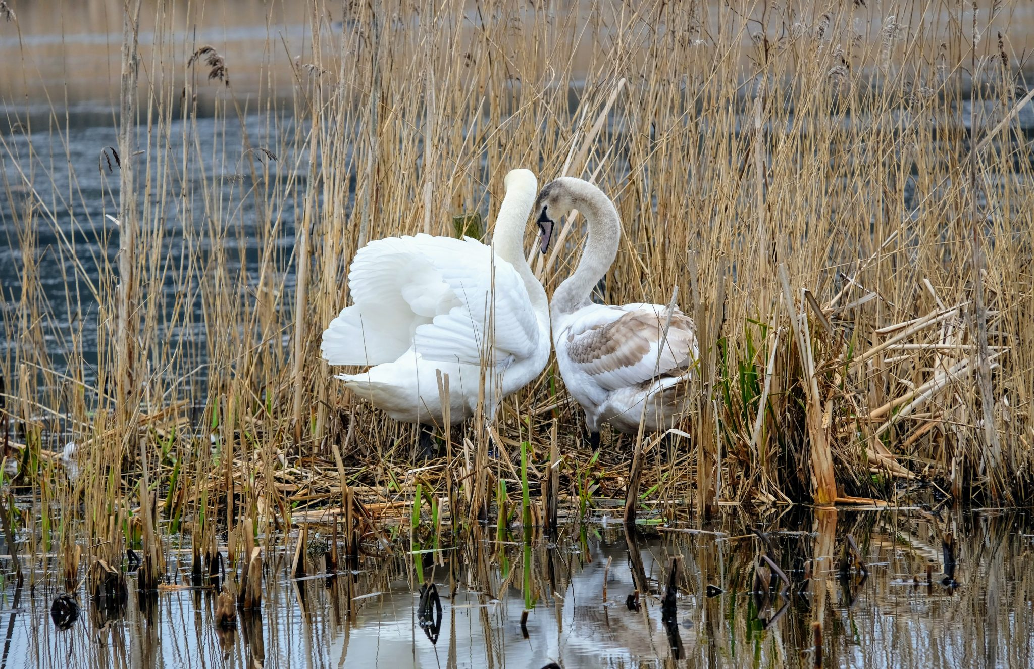 Swans at RSPB Leighton Moss