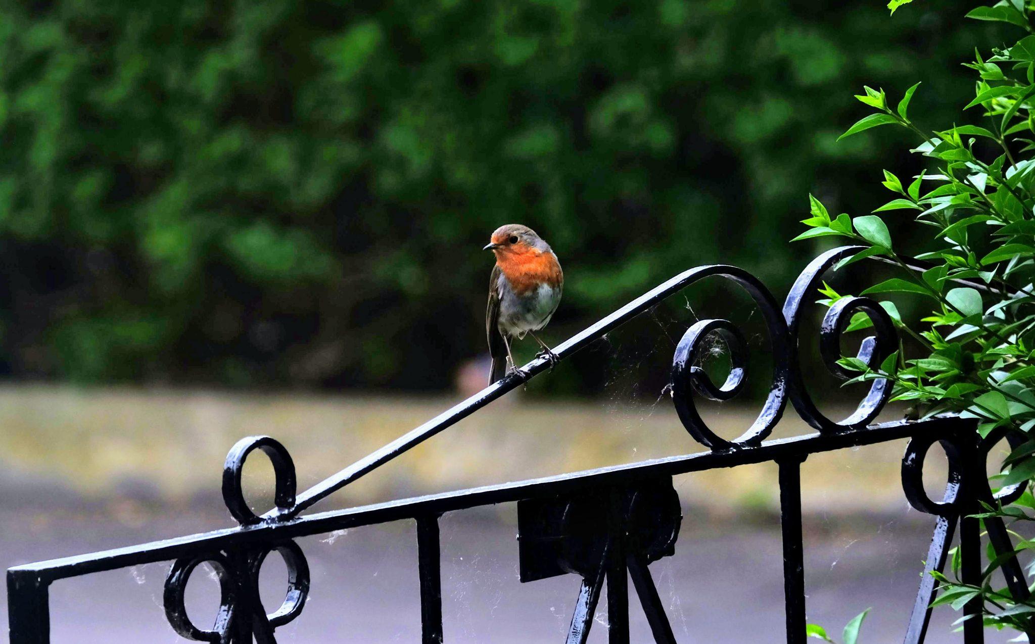 Robin on the gate, Merseybank Estate, Manchester