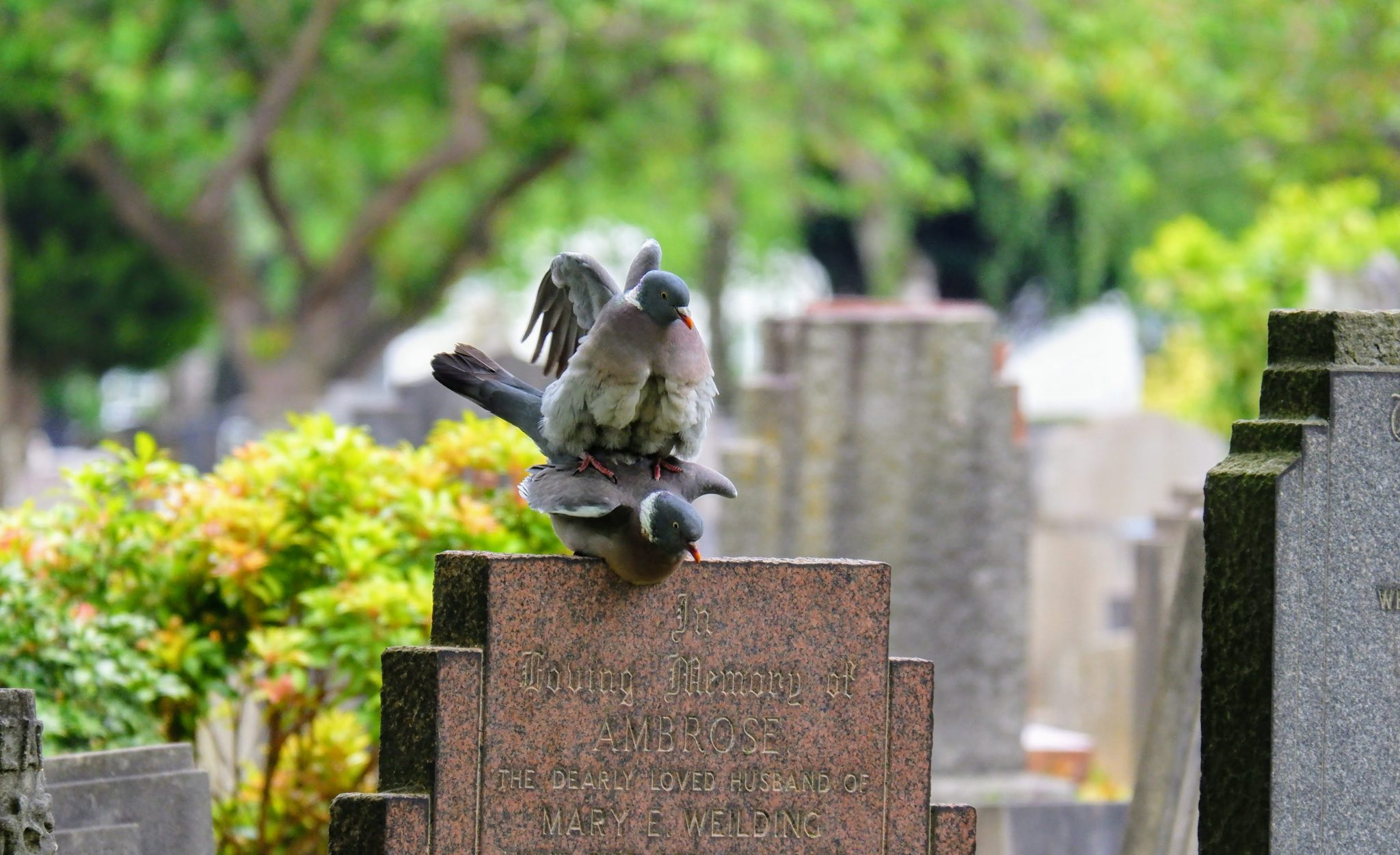 Woodpigeons mating in Southern Cemetery in Manchester