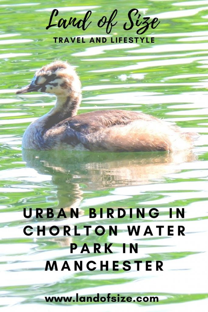 Urban birding in Chorlton Water Park in Manchester