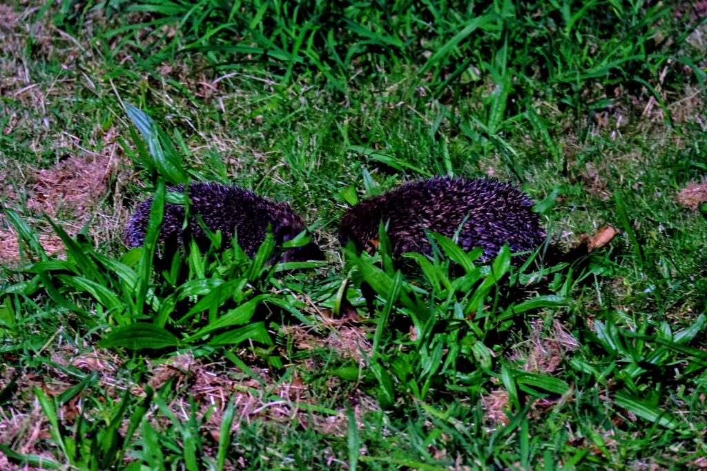 Hedgehogs mating on the lawn, Merseybank Estate, Manchester