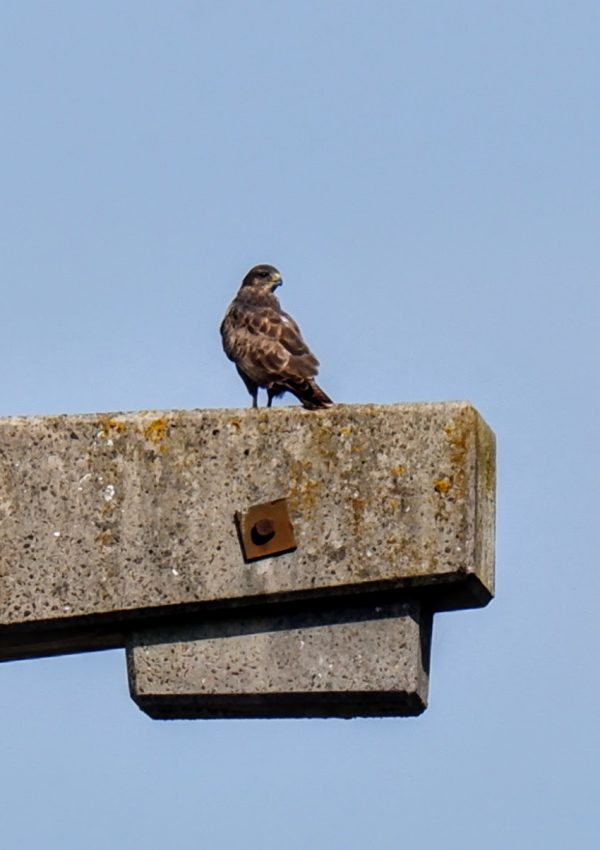 Buzzard on a Manchester power station