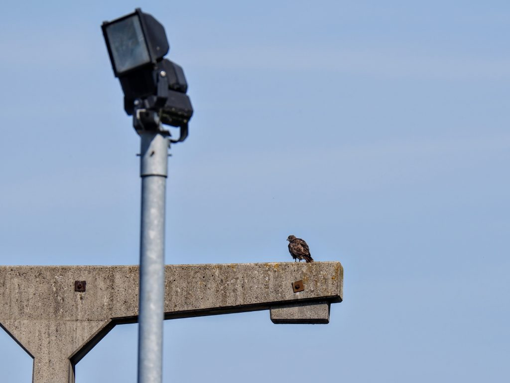 Buzzard on a power station