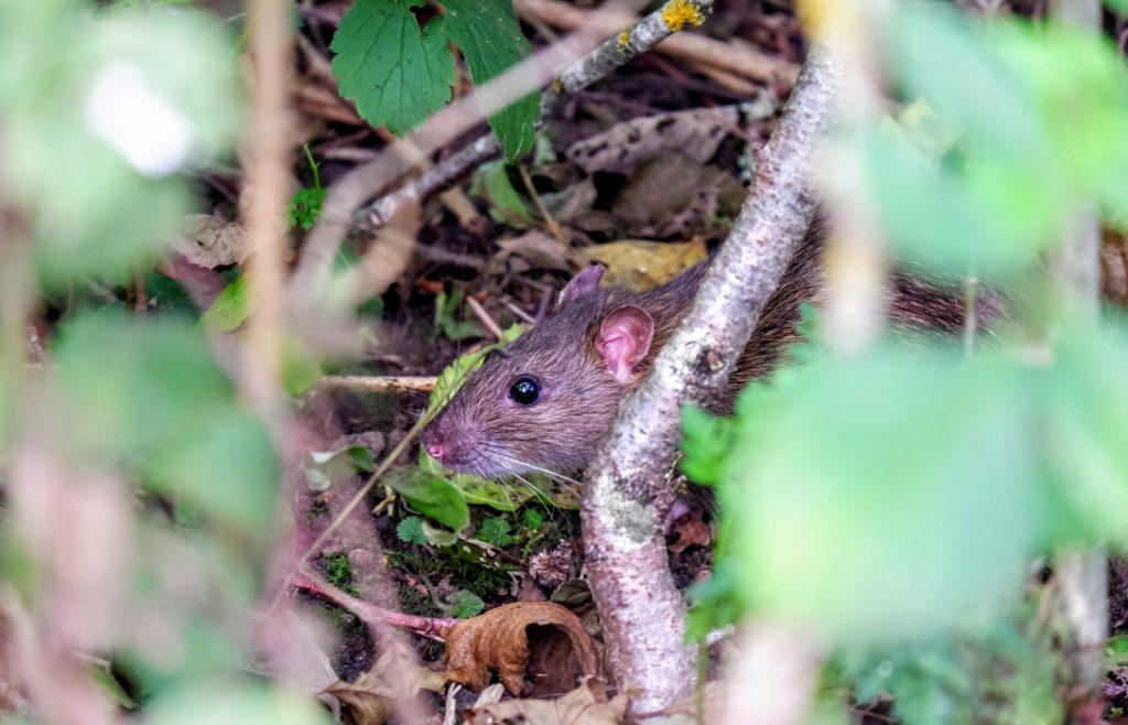 Rat in Chorlton Water Park